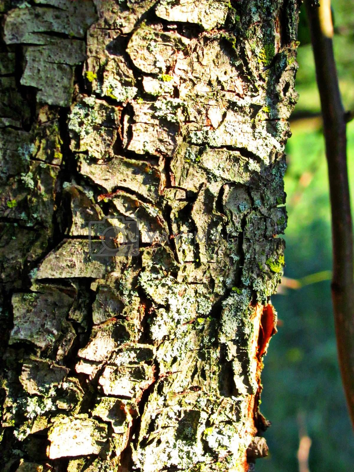 Royalty free image of Tree Bark by cccaity63