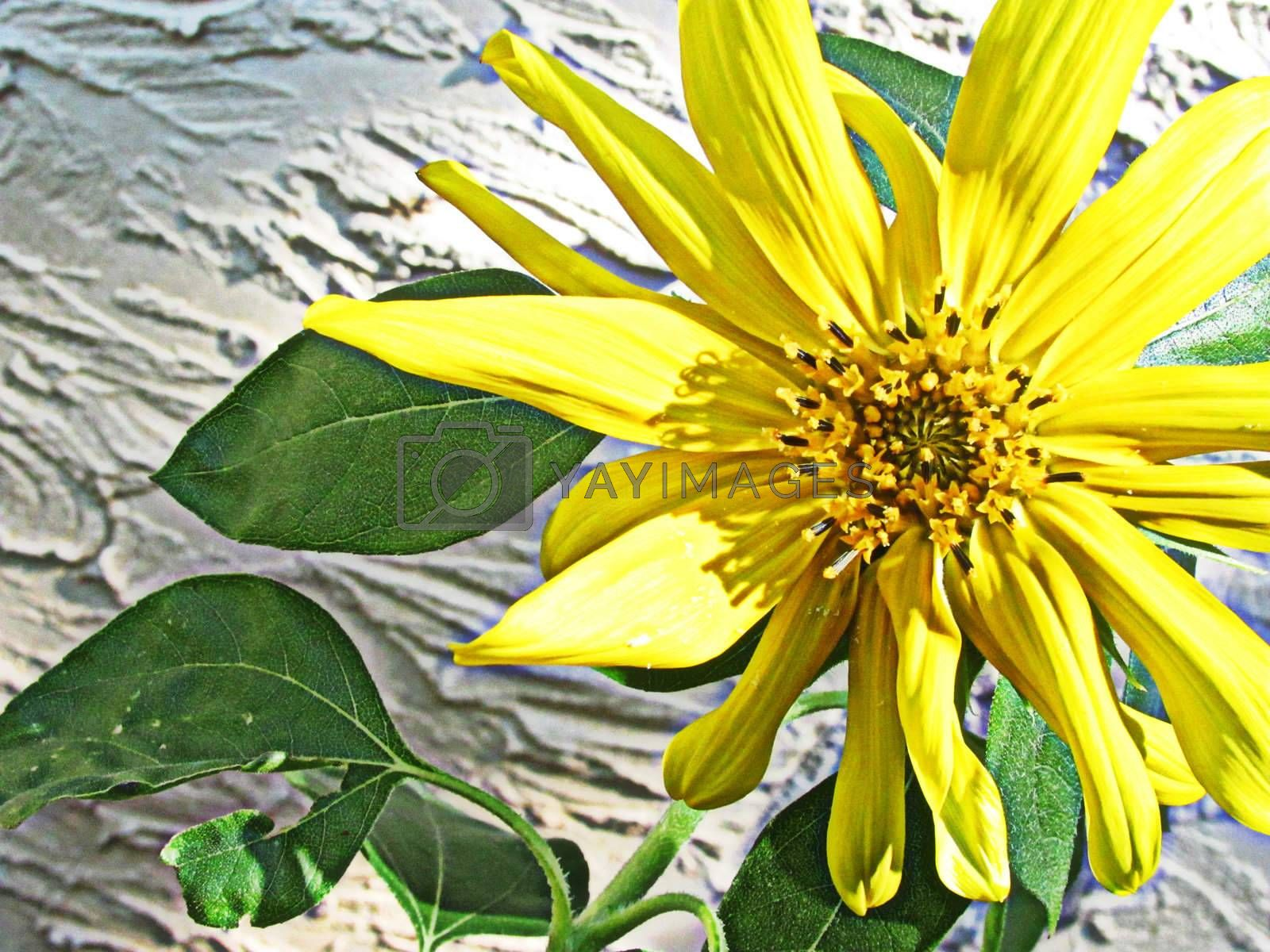 Royalty free image of Immature Sunflower by cccaity63