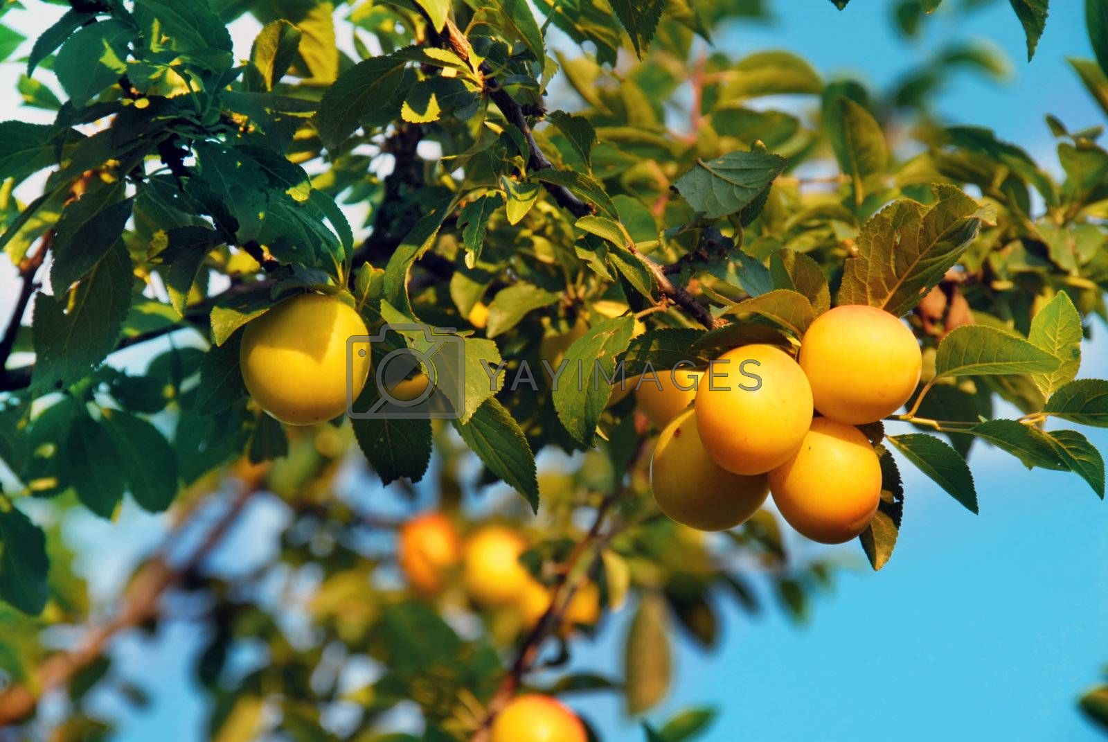 Royalty free image of Yellow plums by simply