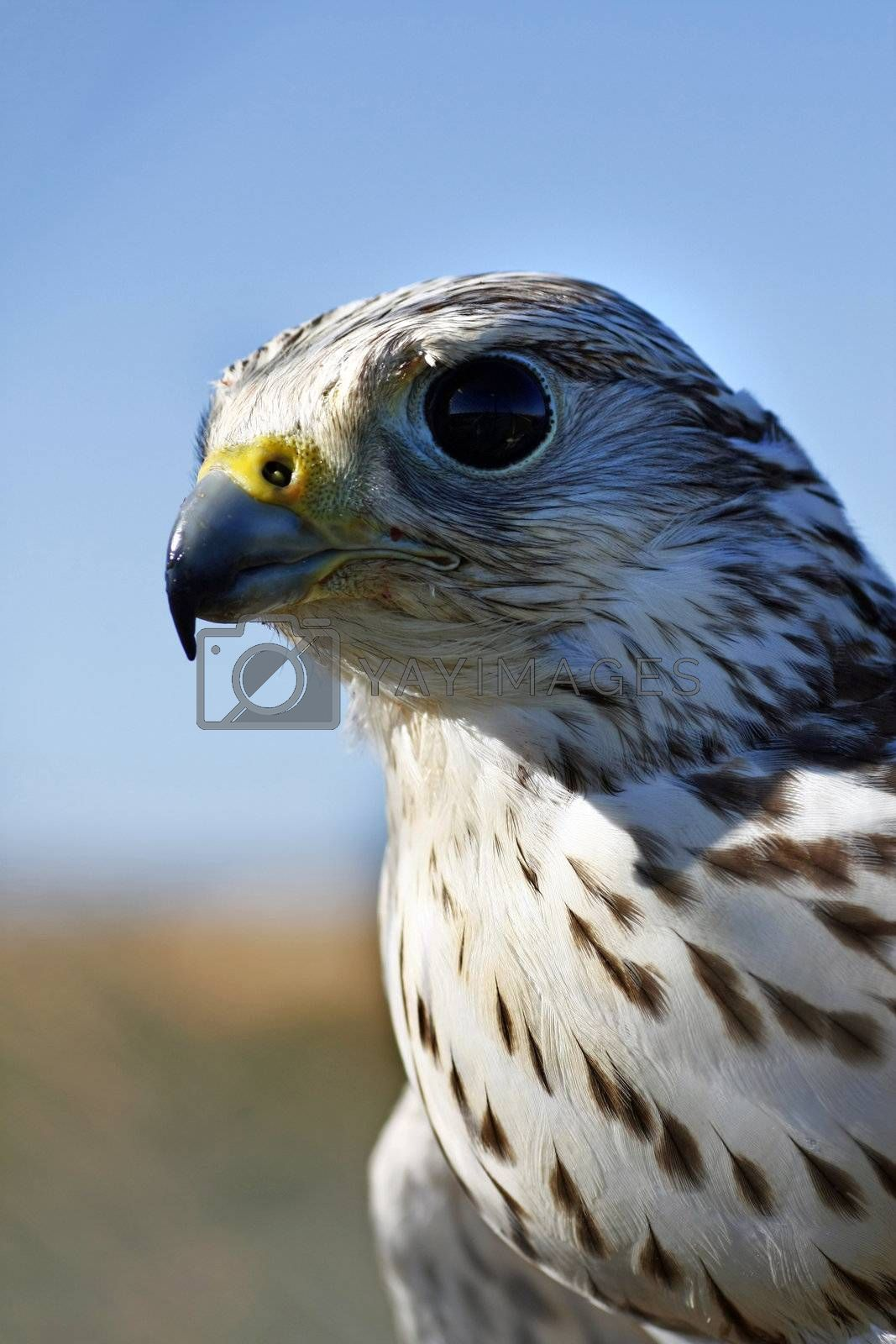 Close up view of a falcon's head.
