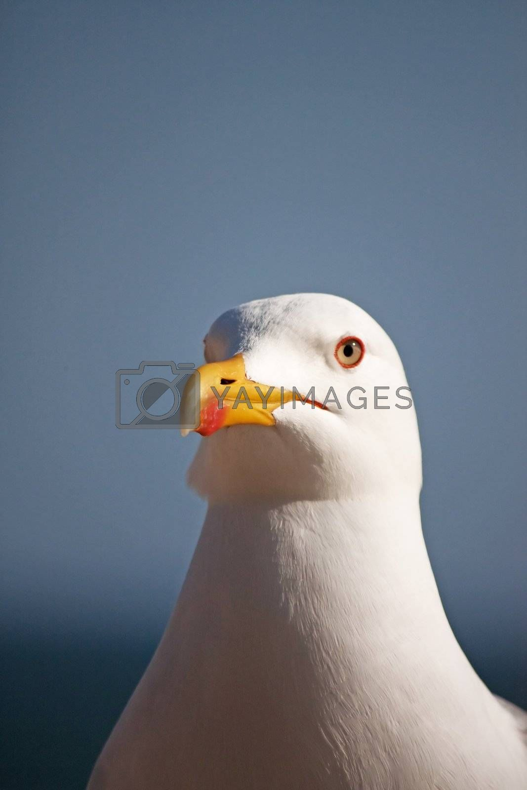 Close up view of a seagull's head staring at the camera.