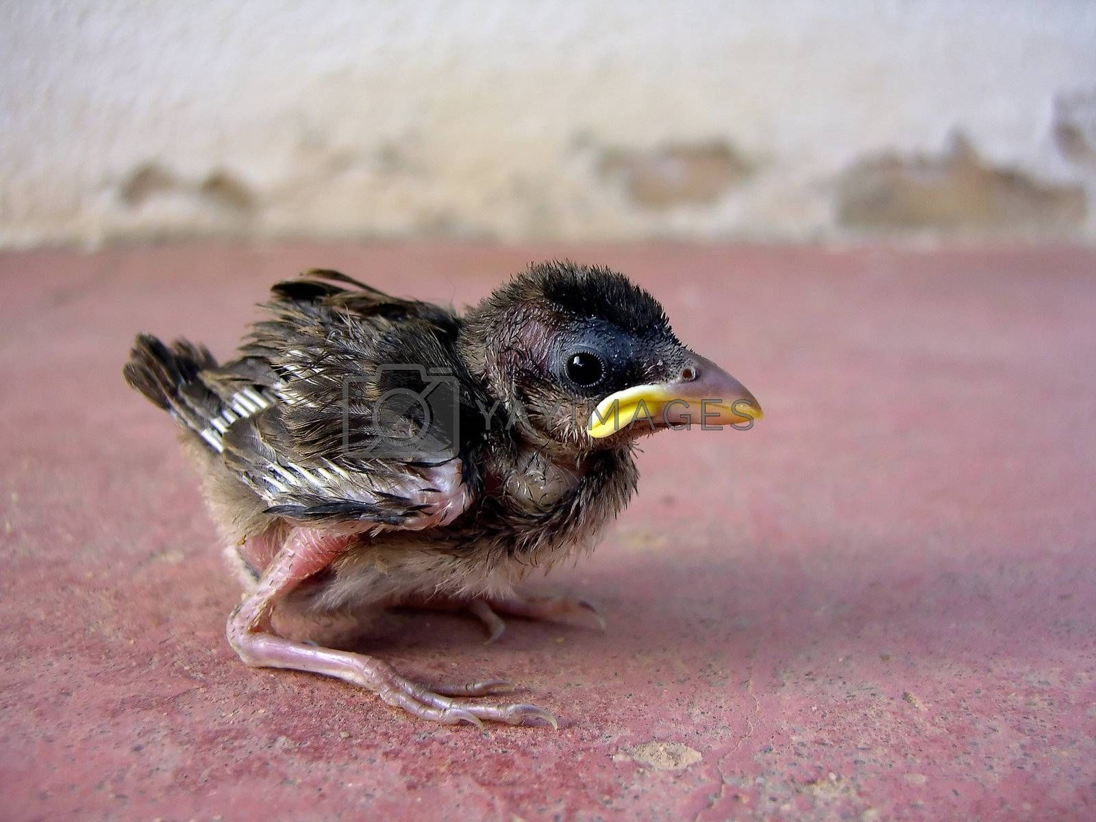Young sparrow chick on a red ground.