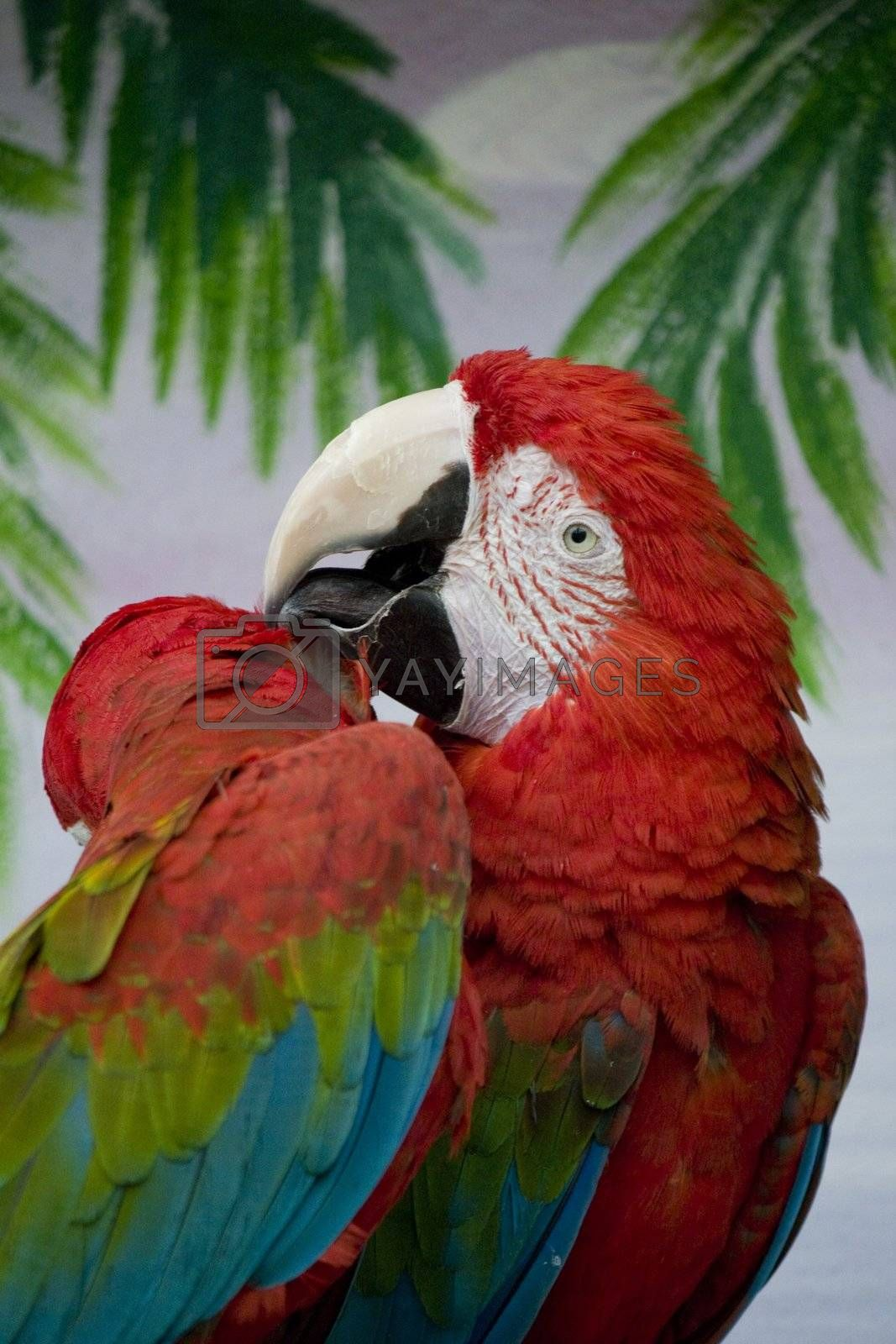 Close view of a scarlet macaw making feather treatment.