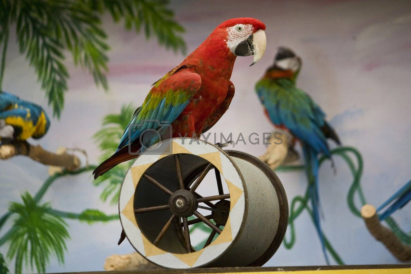 View of a scarlet macaw performing a show on a cylinder.