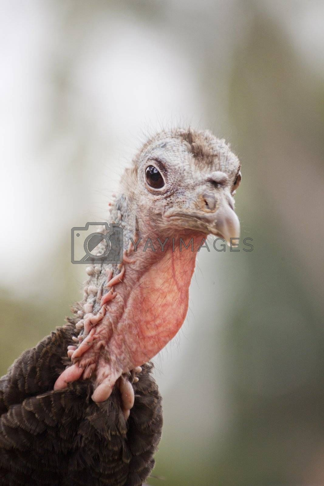 Close up view of the head of turkey.