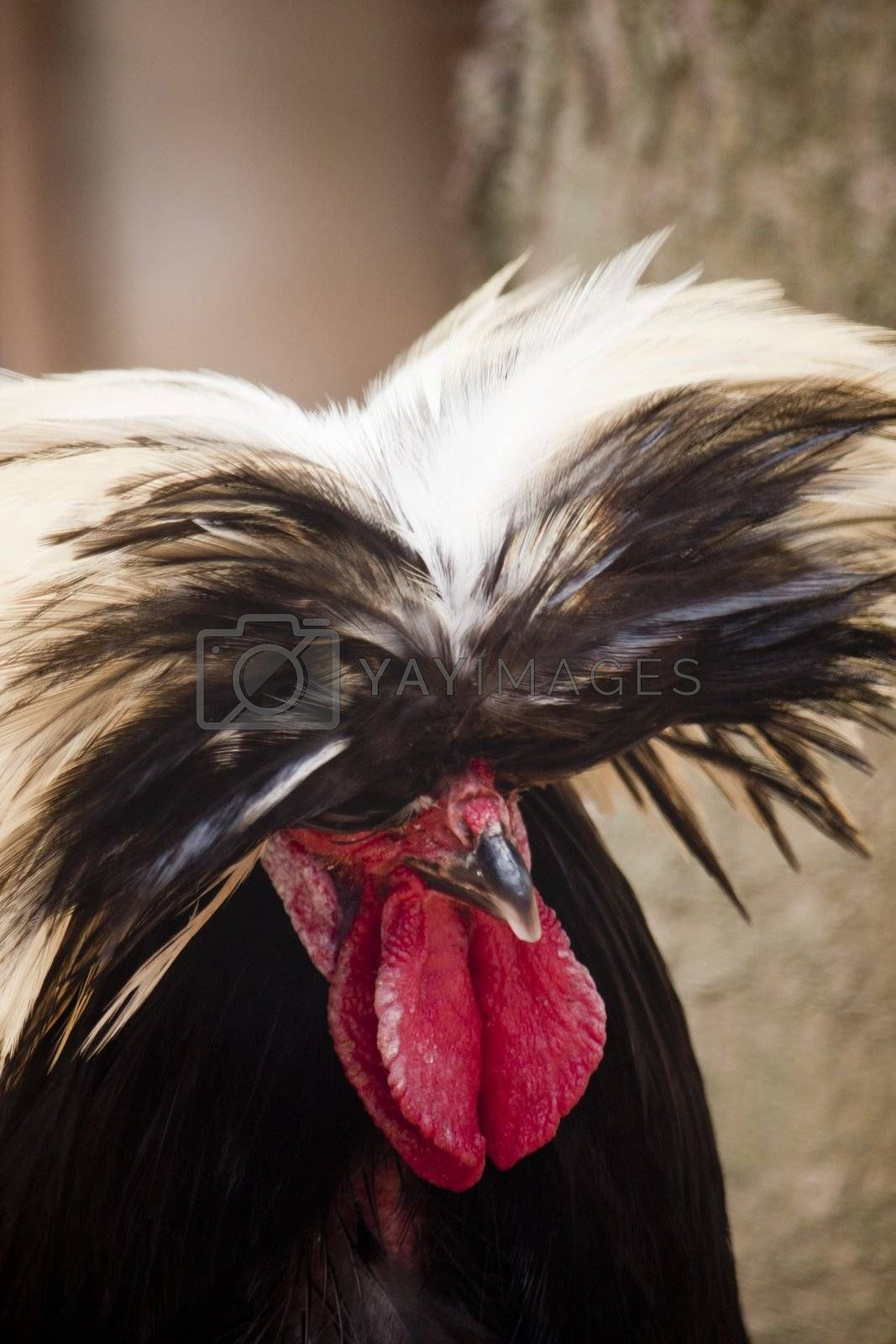 Close up view of the head of a Polish frizzle chicken breed.