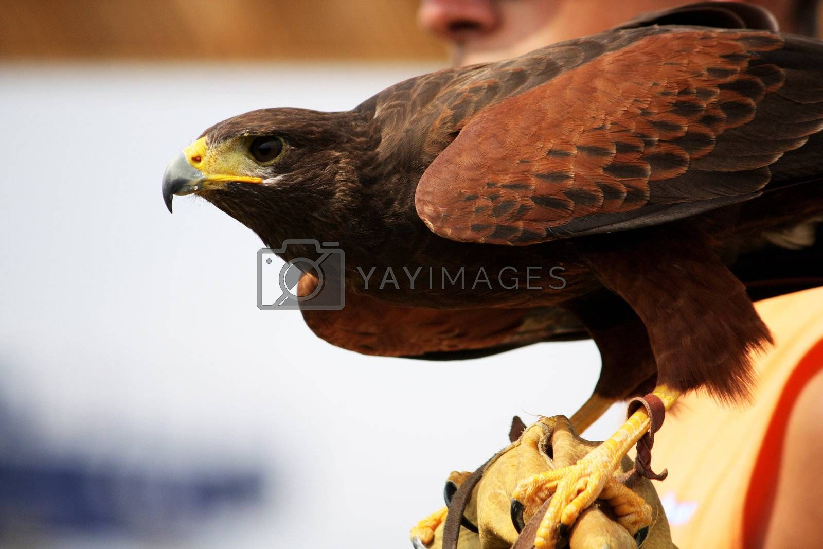 View of a golden eagle on the glove of it's trainer.