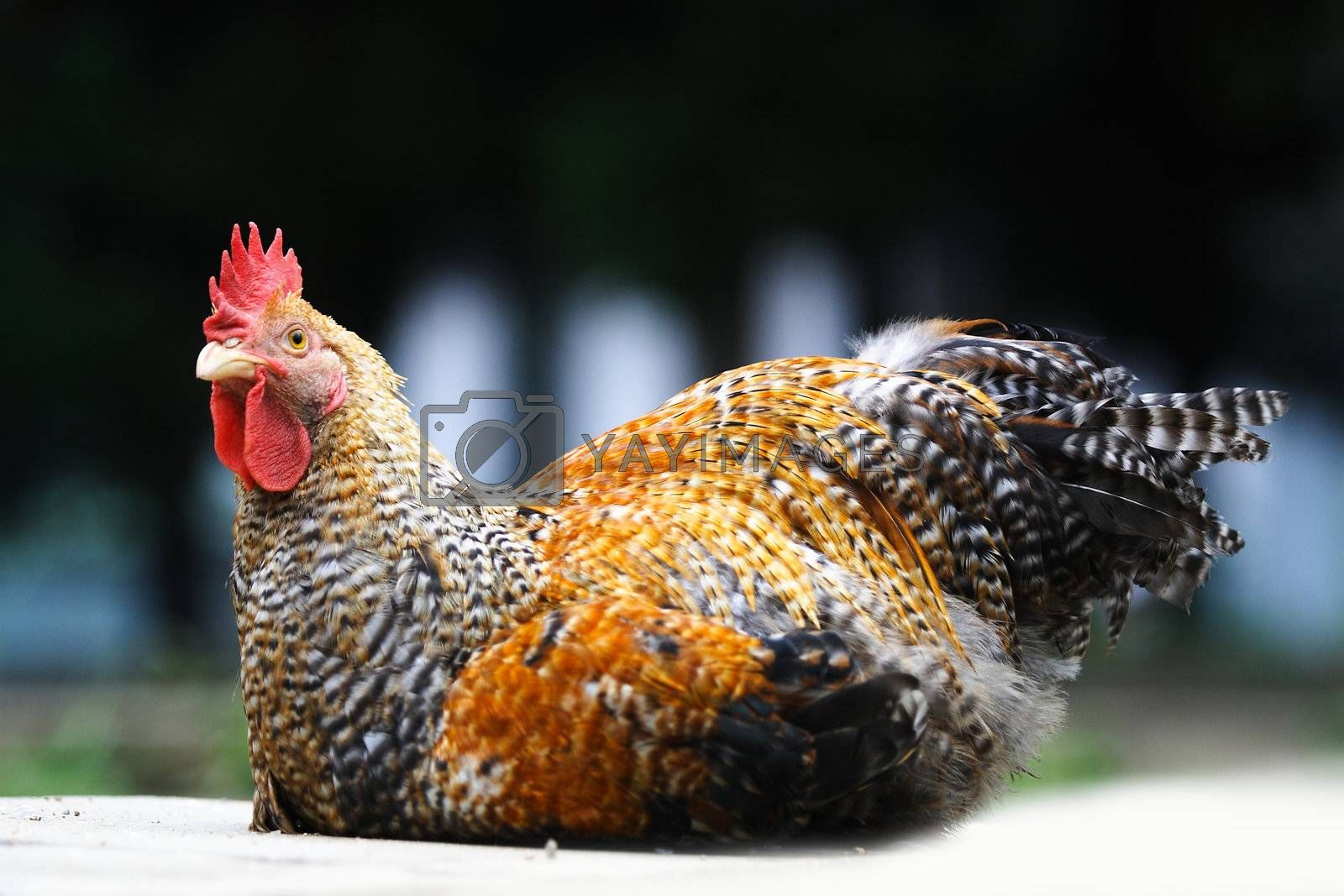 Animals poultry