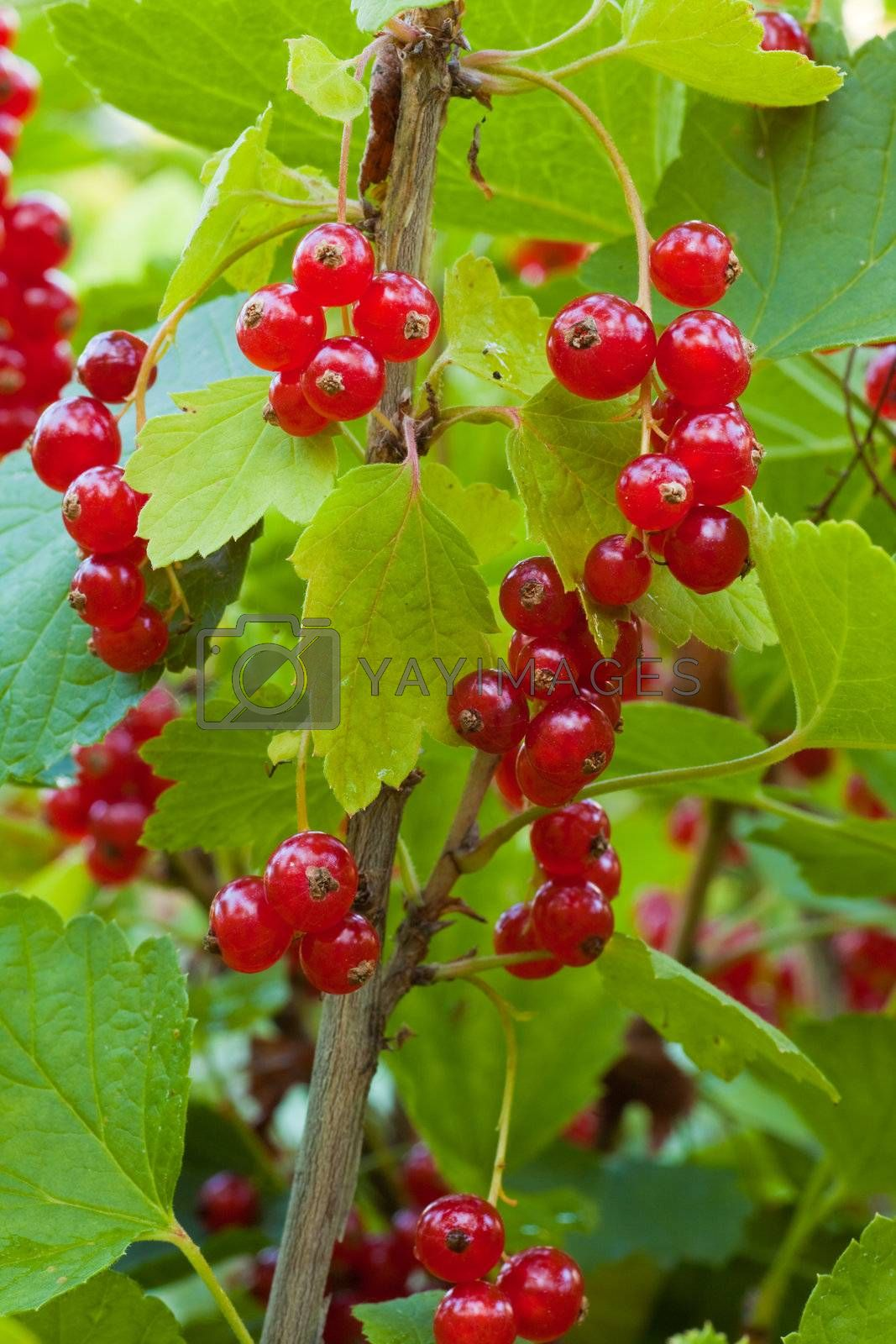 Red currant berries on bush Royalty Free Stock Image ...