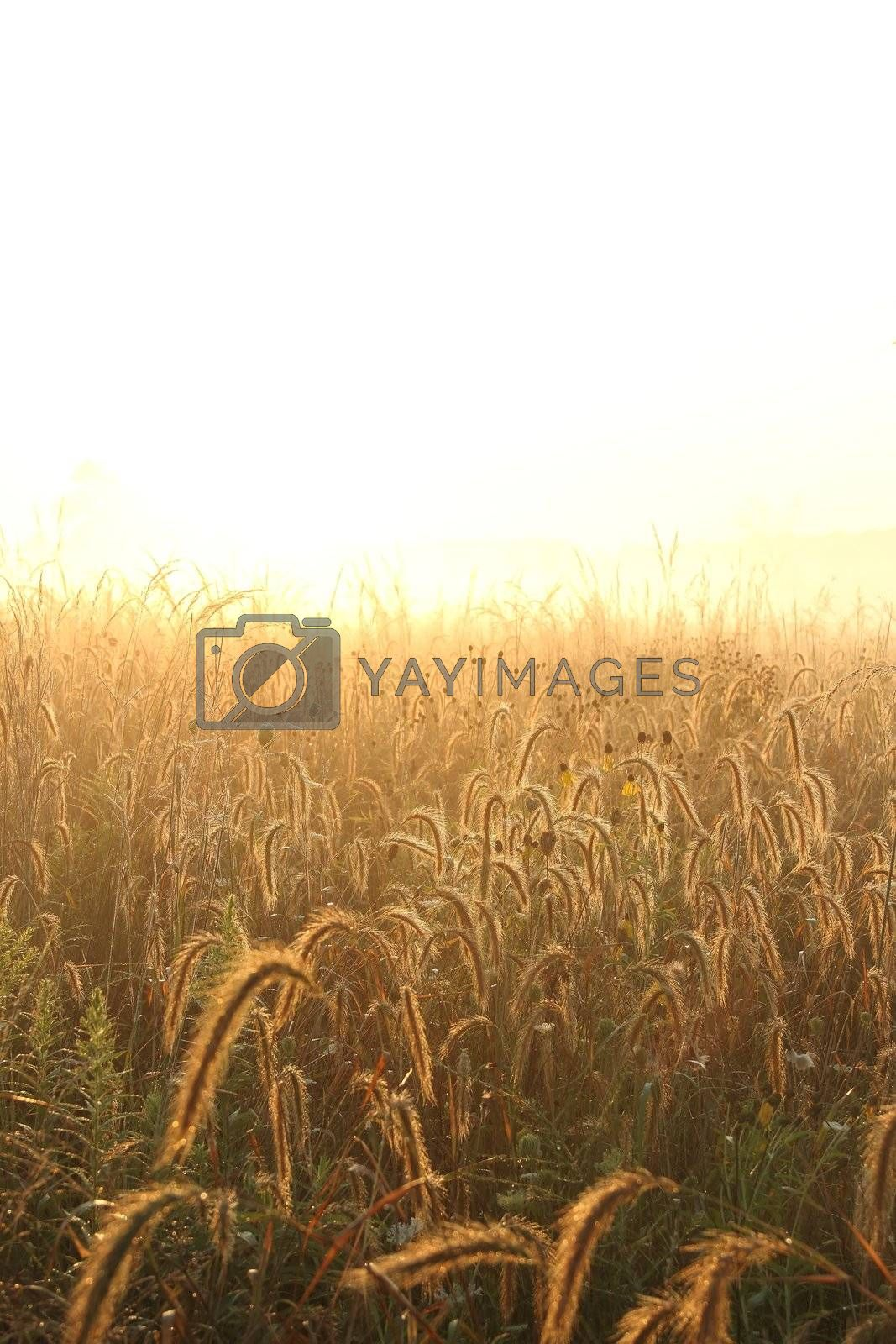 Royalty free image of Dew cover grass and neutral Background by jasony00