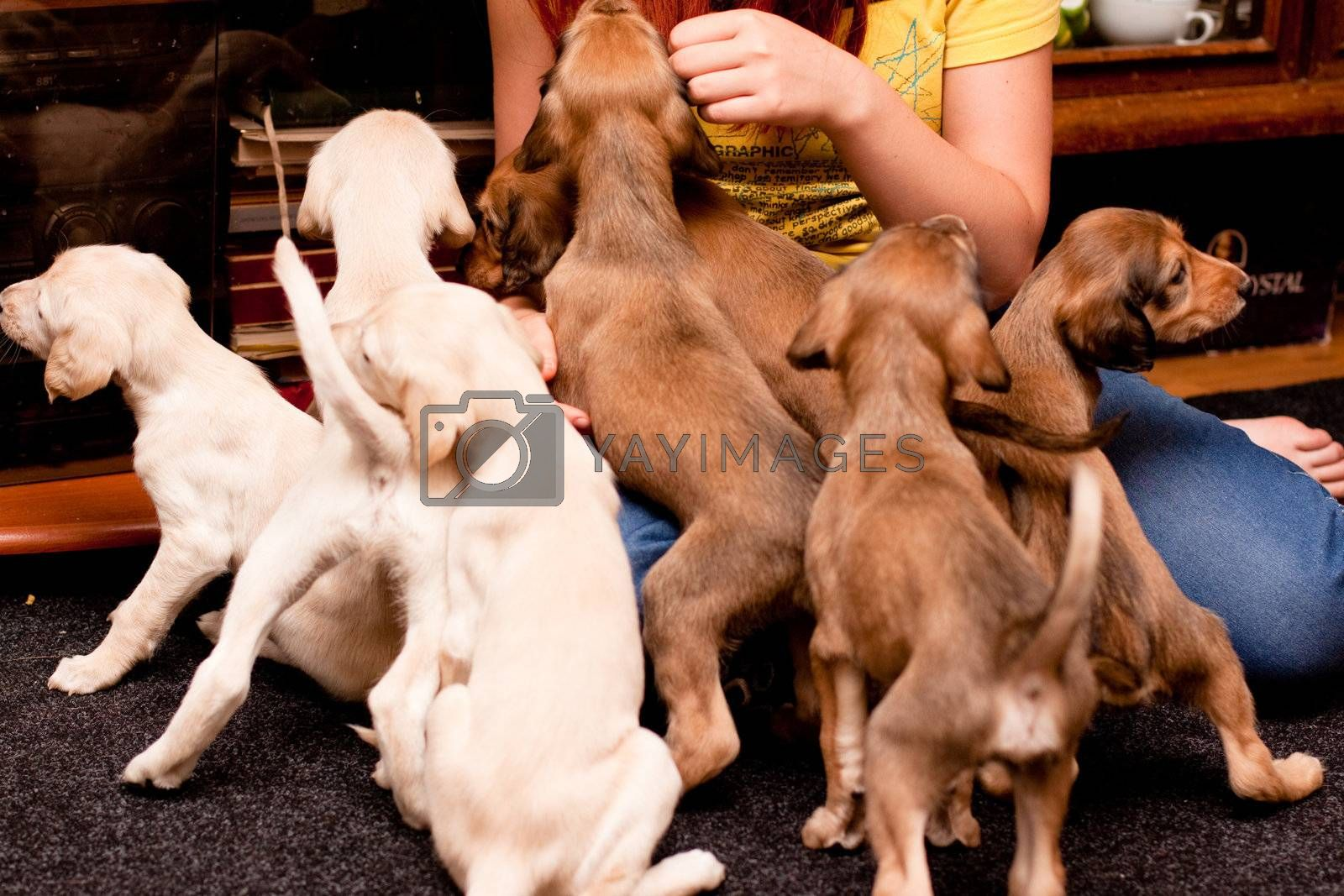 A playing saluki pups and girl on carpets
