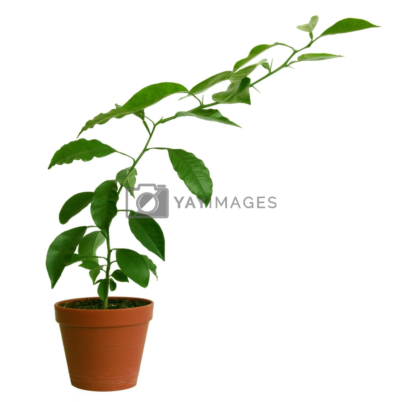 isolated green branch with leaves in a brown pot on a white background with path
