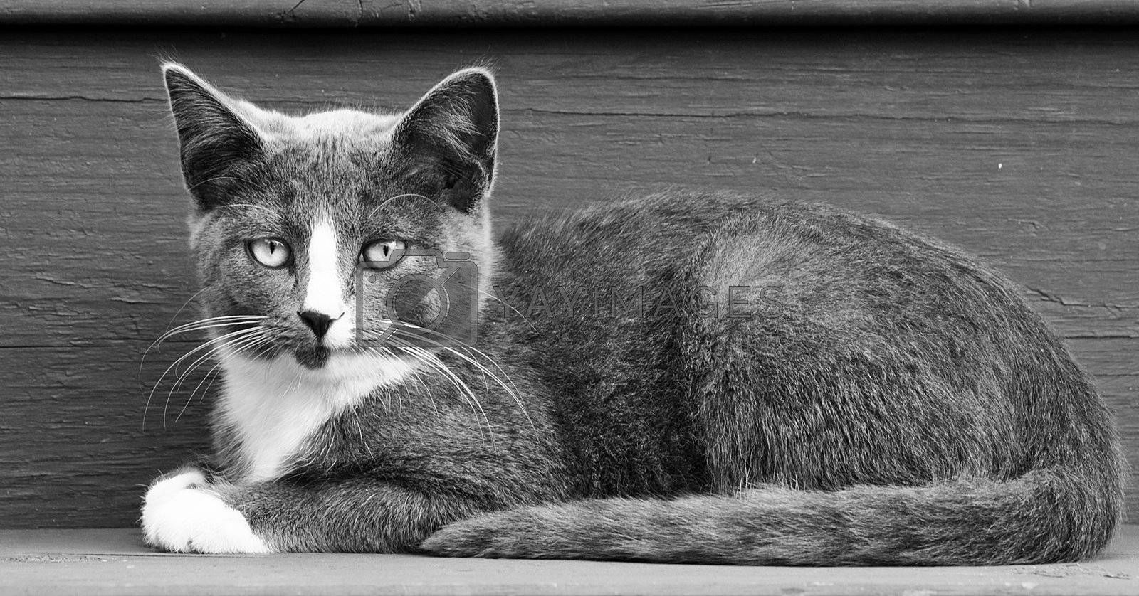 A black and white image of a gray and white kitten laying down.