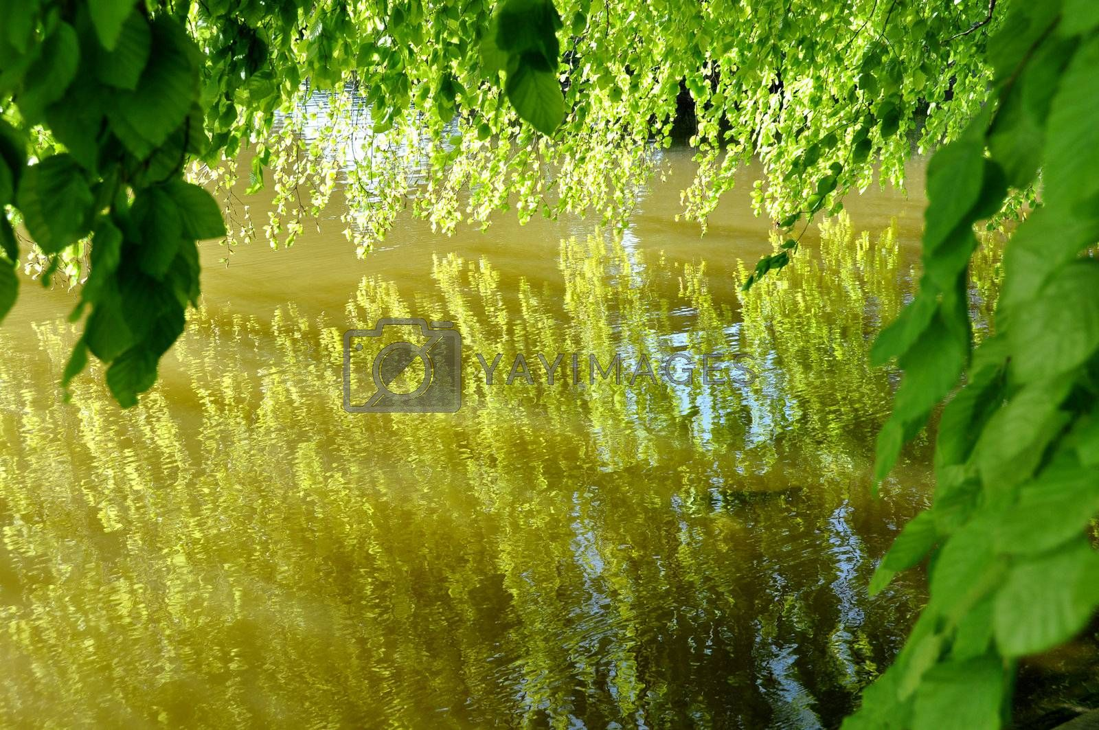 Tree leaves reflecting on a pond, spring season