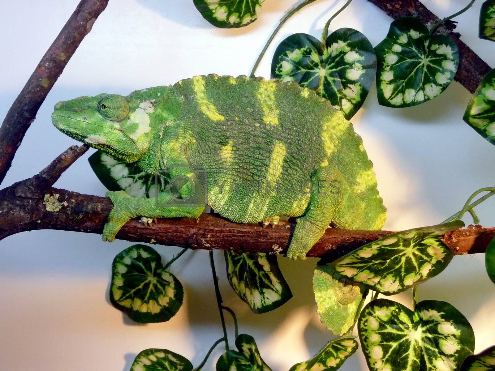 Large striped green chameleon sits on the branch