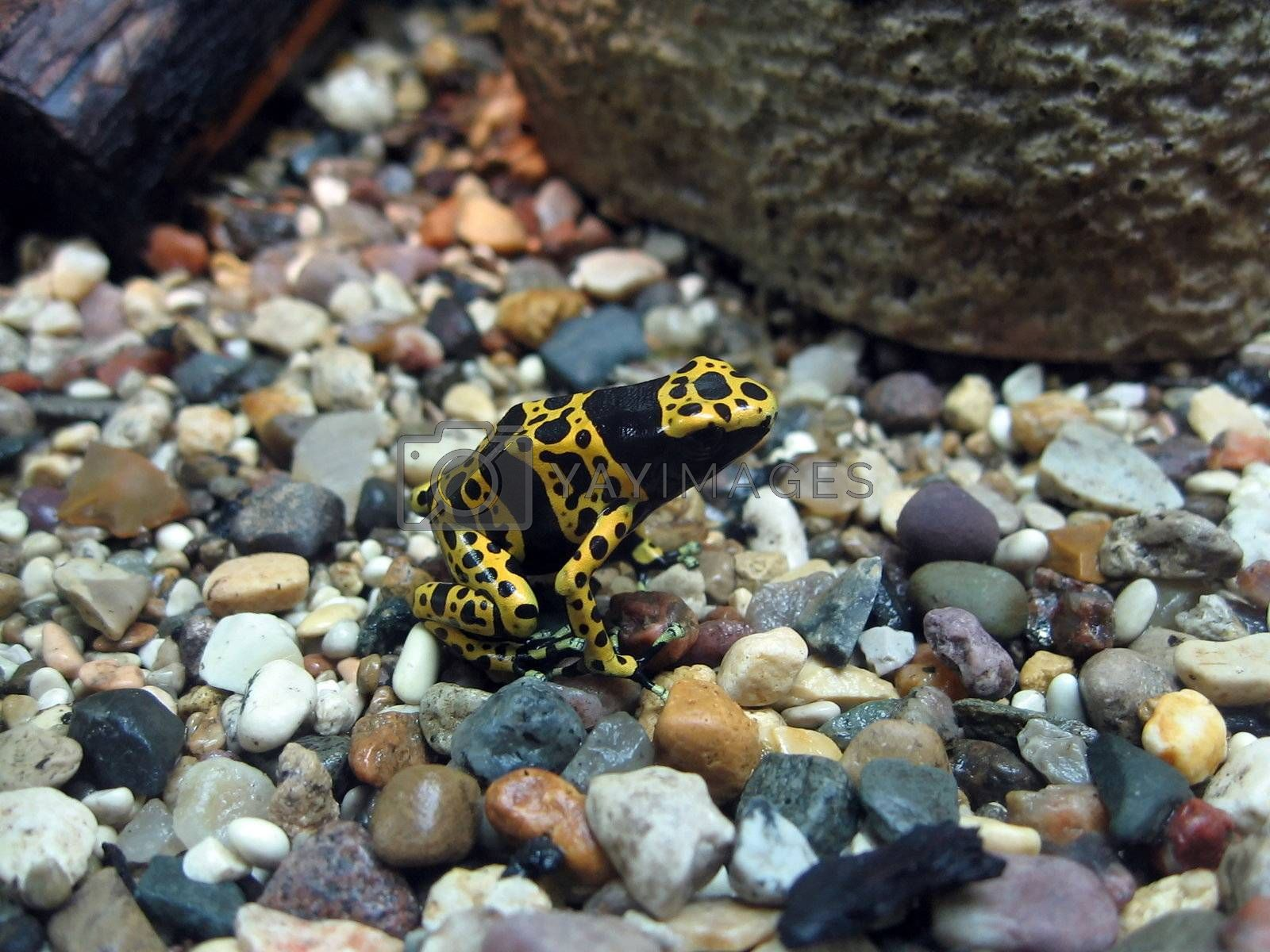 Colored motley frog sits on the stones