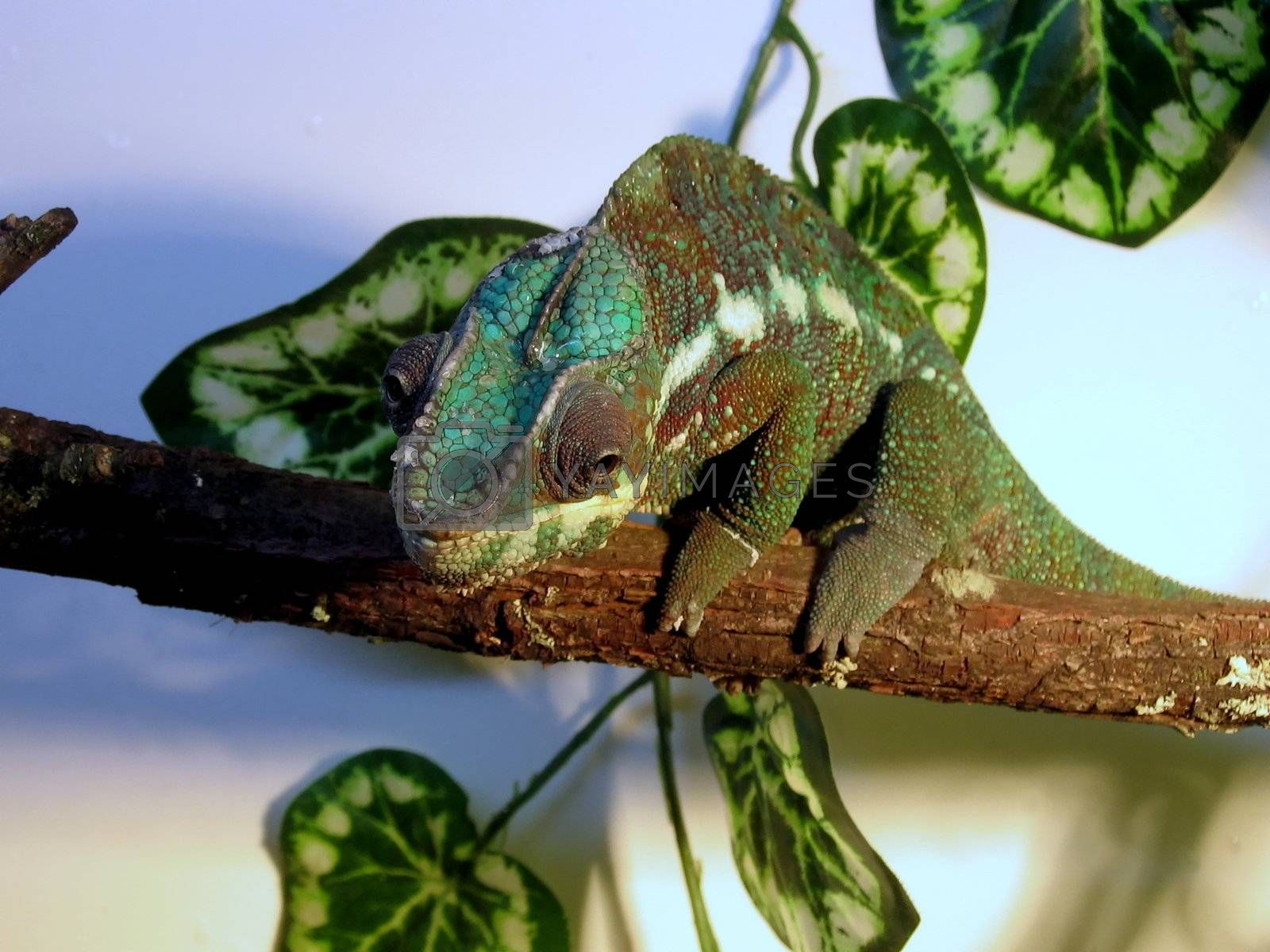 Colored cute chameleon sits on the branch