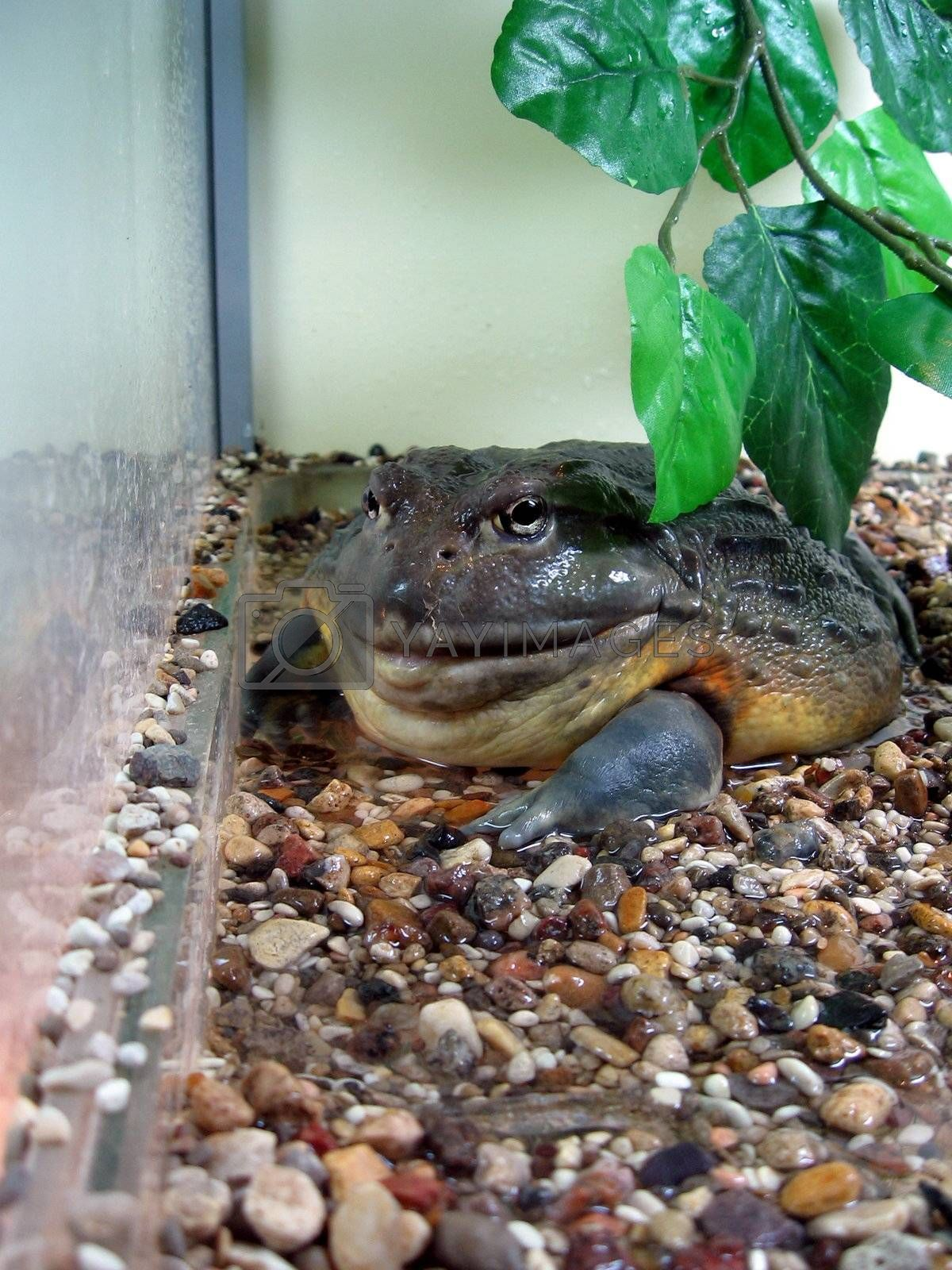 Large wet green toad sits among colored stones