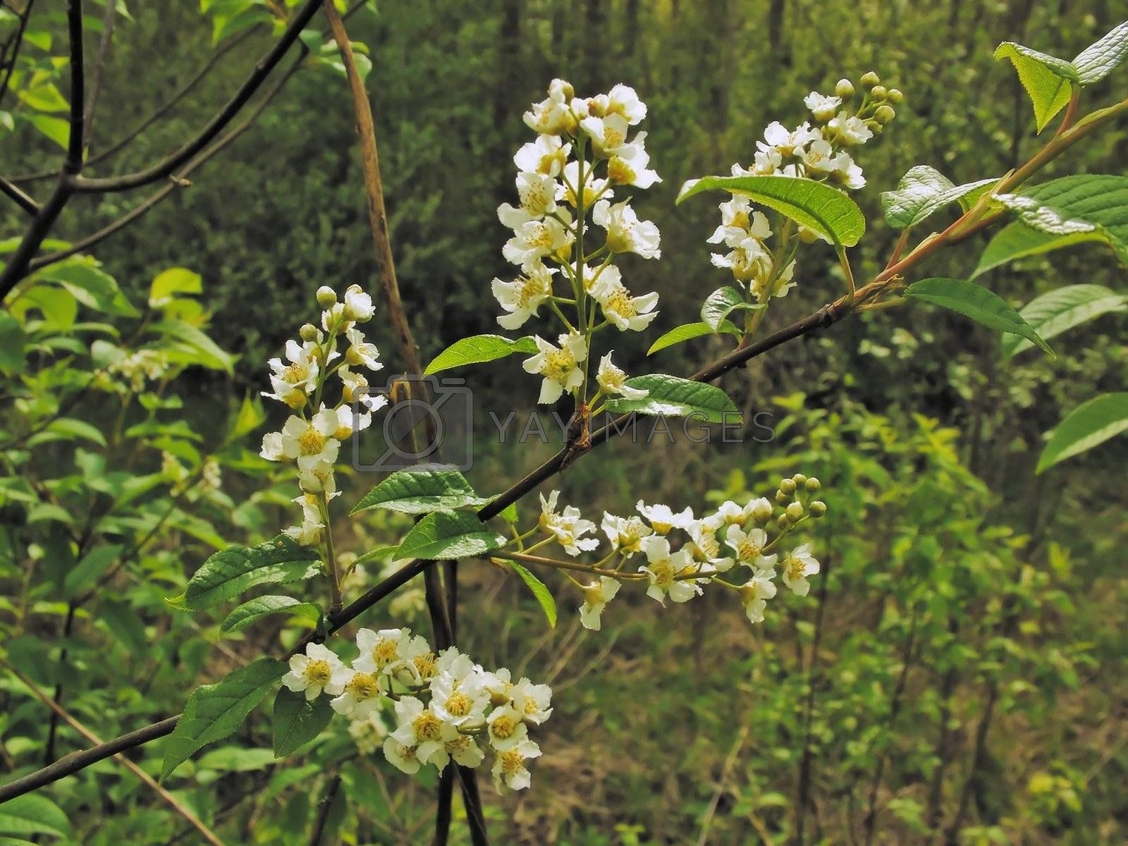 Branch with white flowers  of a bird cherry