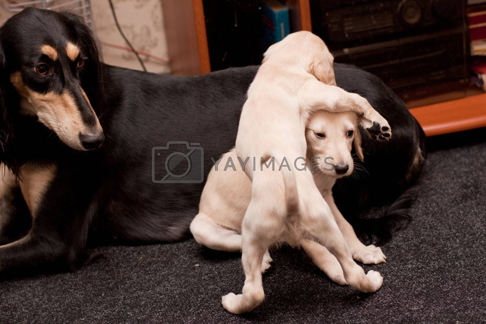 Two playing saluki pups and its mother on carpets