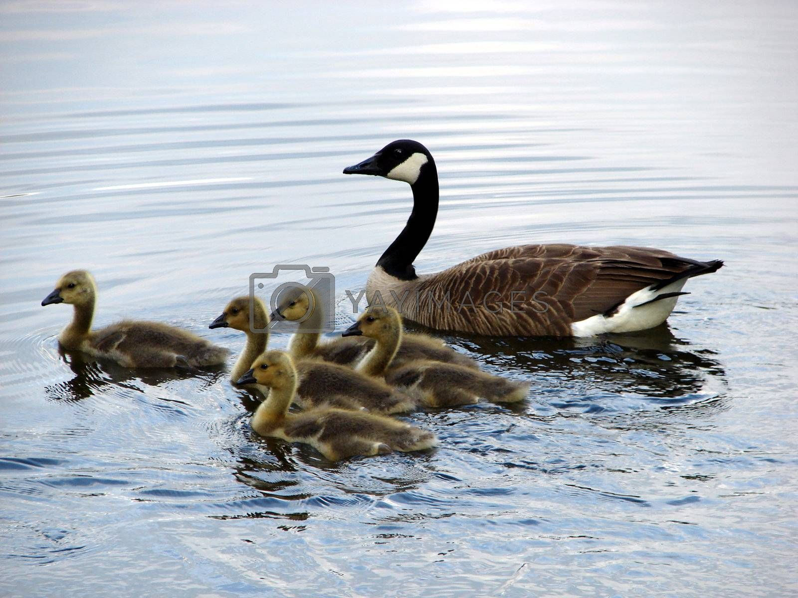 Goose and babies by Thorvis