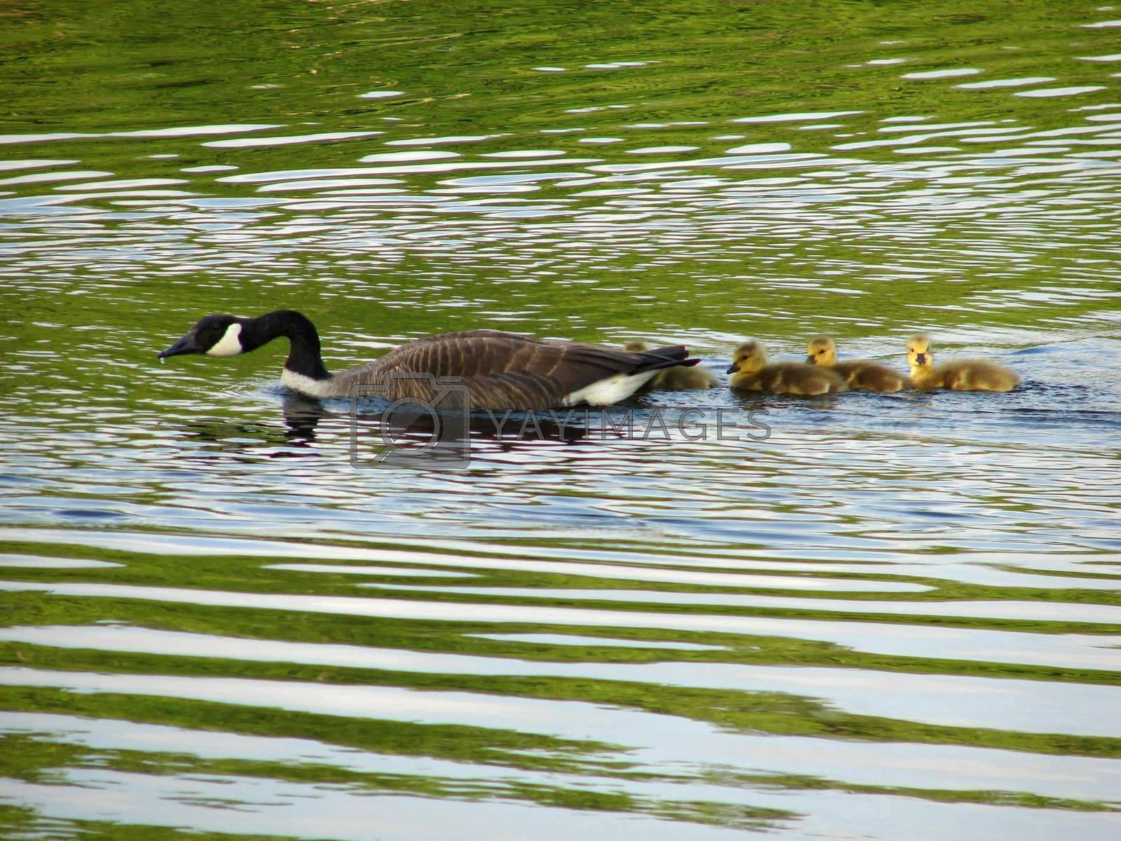 Goose swimming on a river with it babies in early evening
