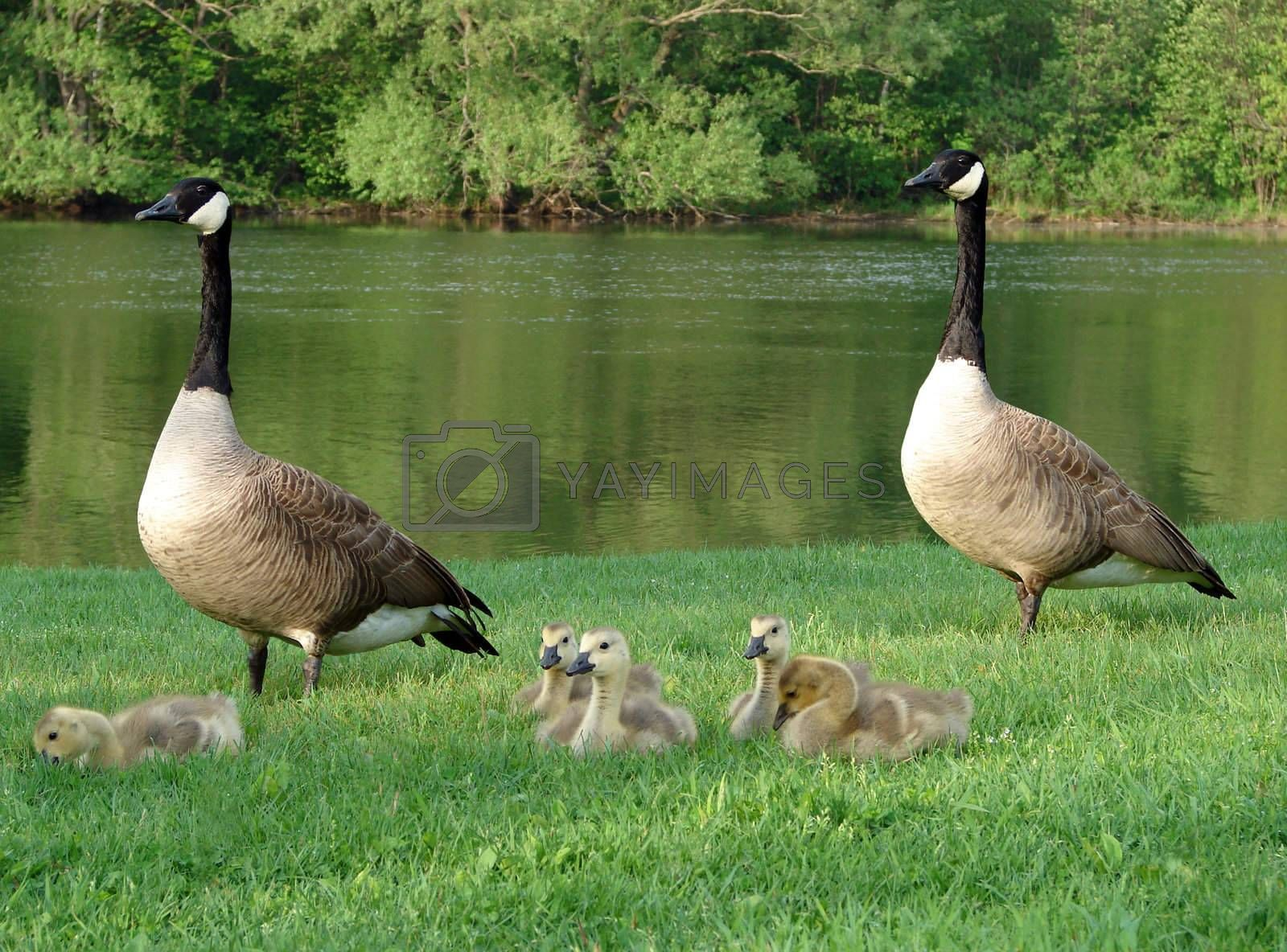 Two geese and their babies by a river