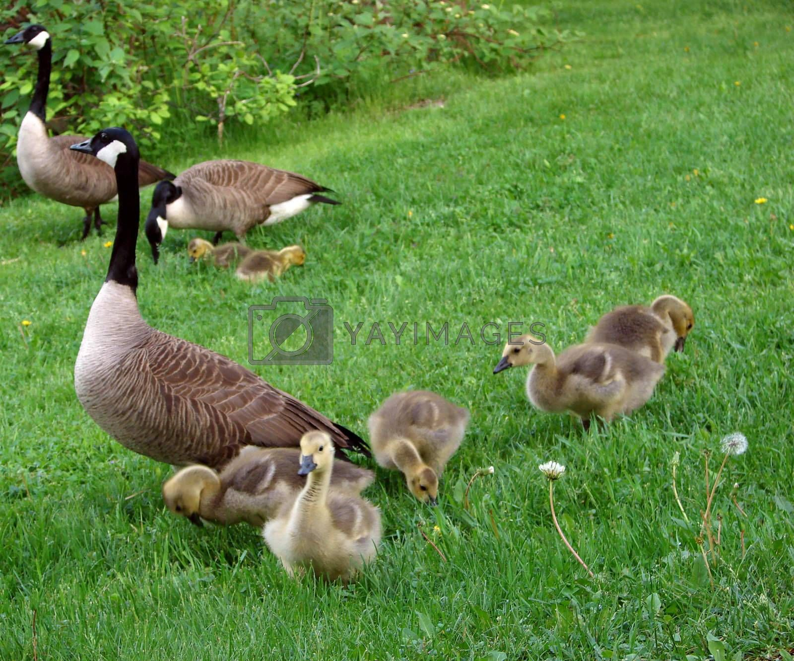Three geeese and their babies on the lawn