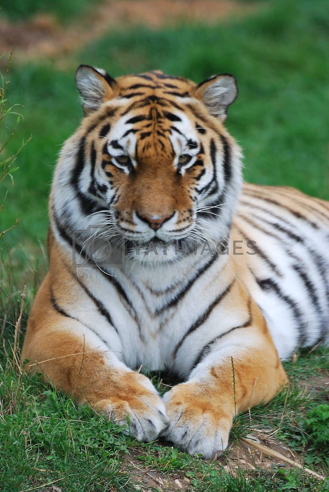 amur tiger lying down