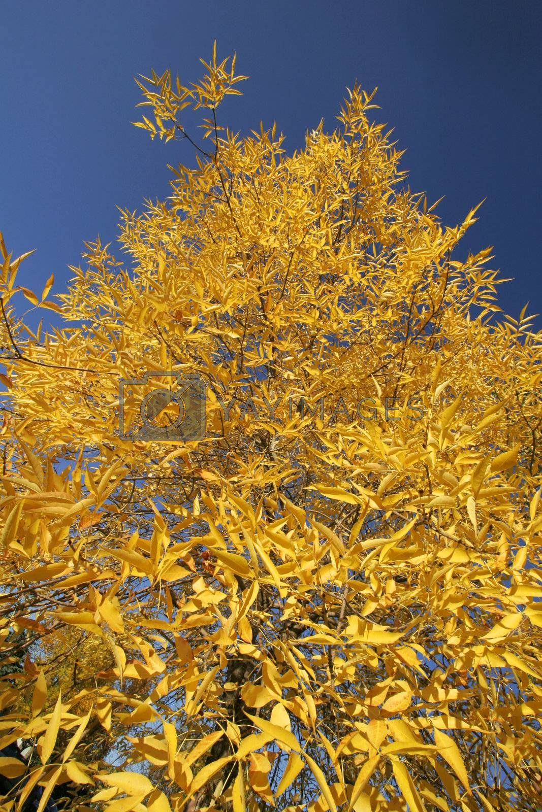 Yellow leaves on a tree on a fall day