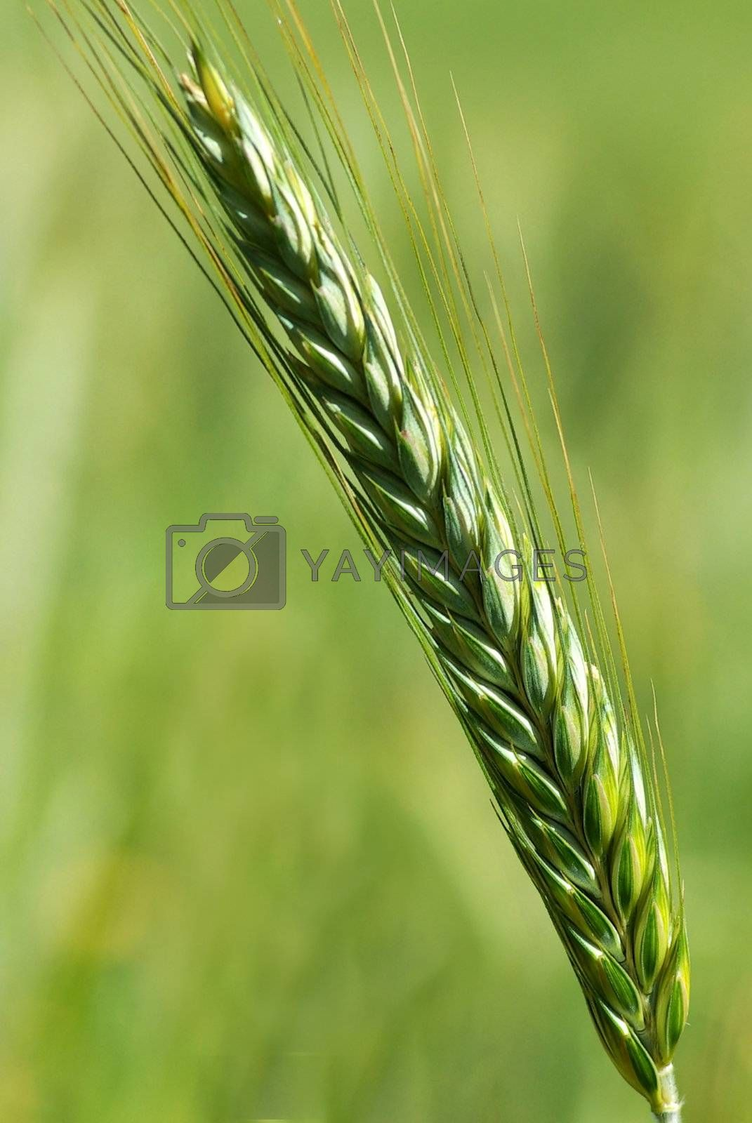 Spike of wheat. by inaquim