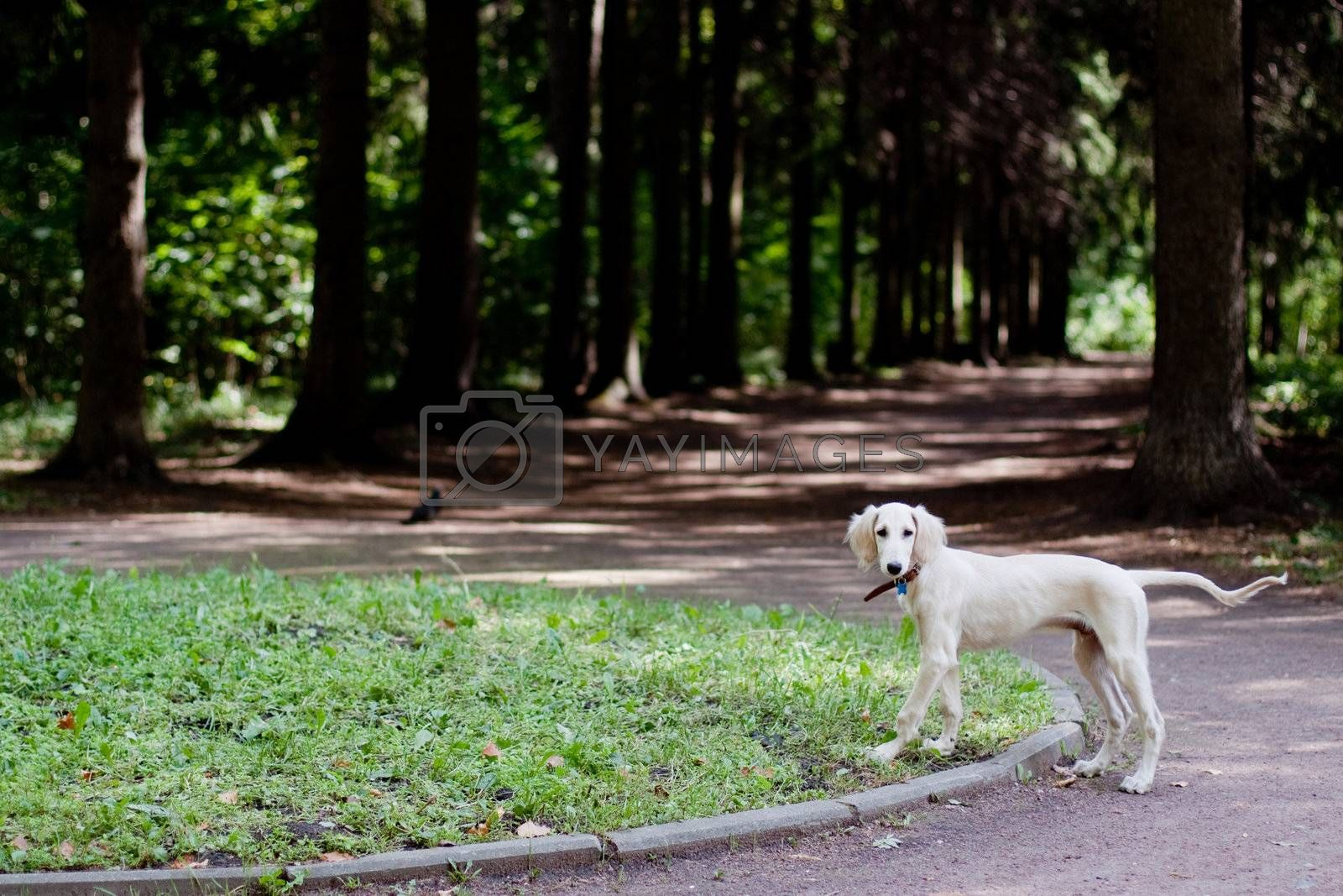 A standing saluki pup in a park