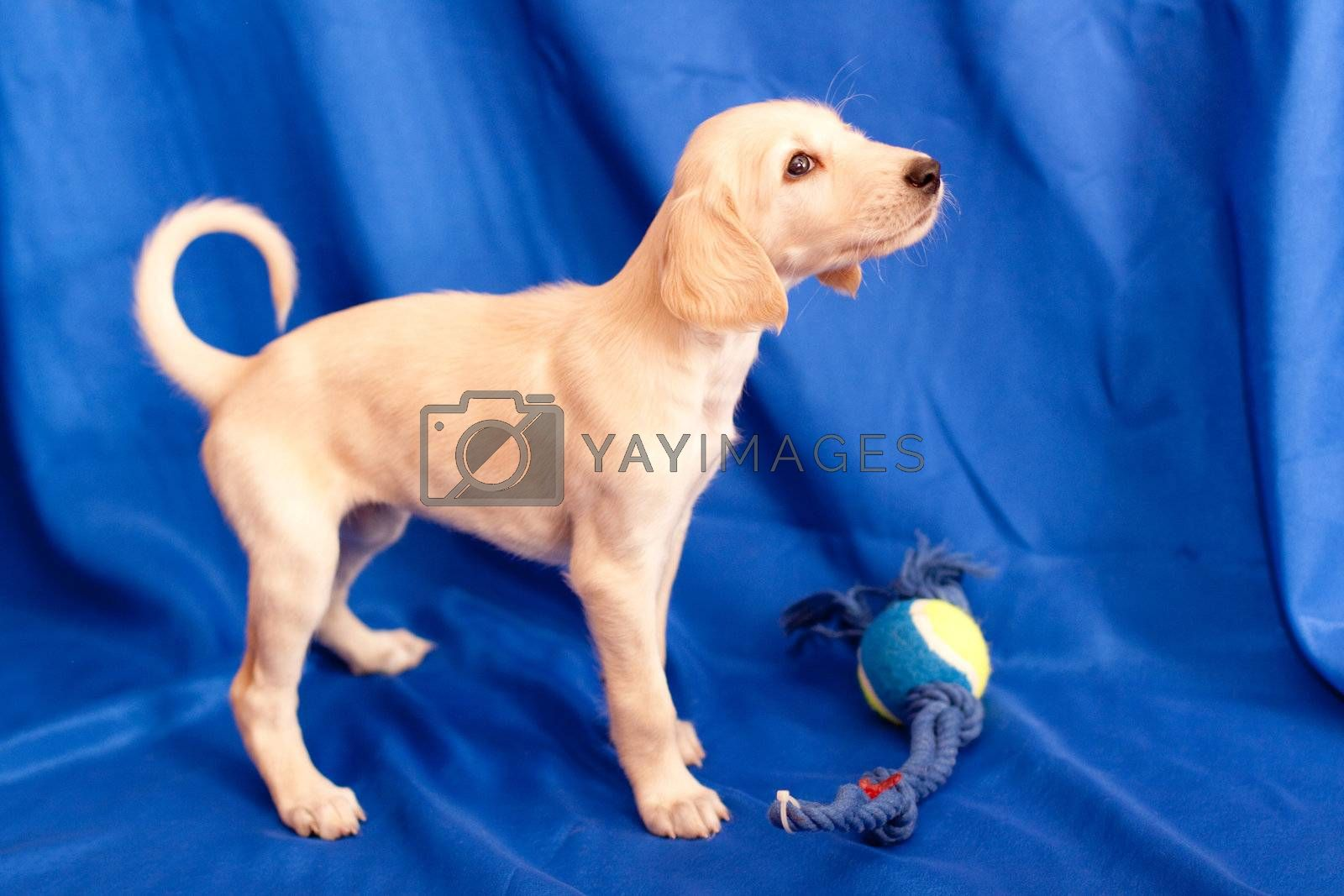 A standing white saluki pup on blue background