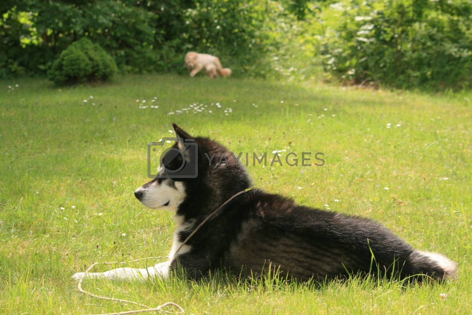 A nice alaskan malamute in the garden