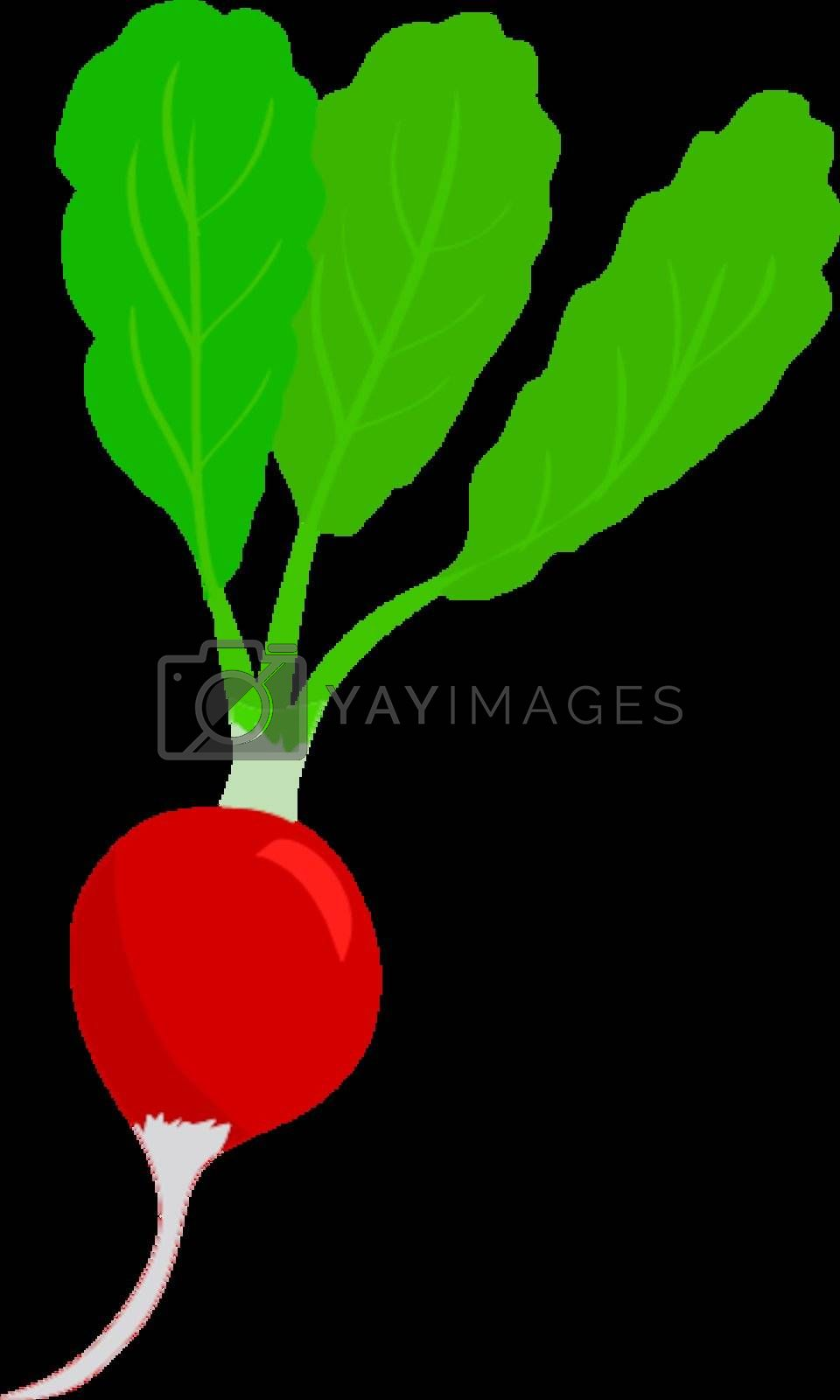 Royalty free image of red radish by Perysty