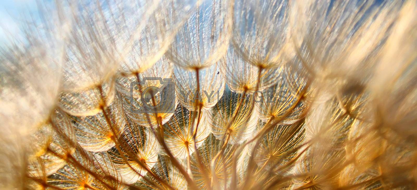 Macro photo of dandelion with sky in background