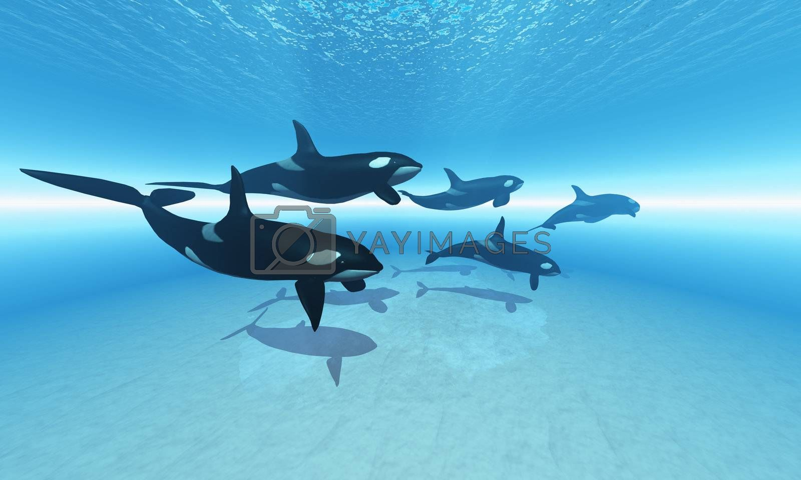 A family of Killer Whales search together for their next meal.
