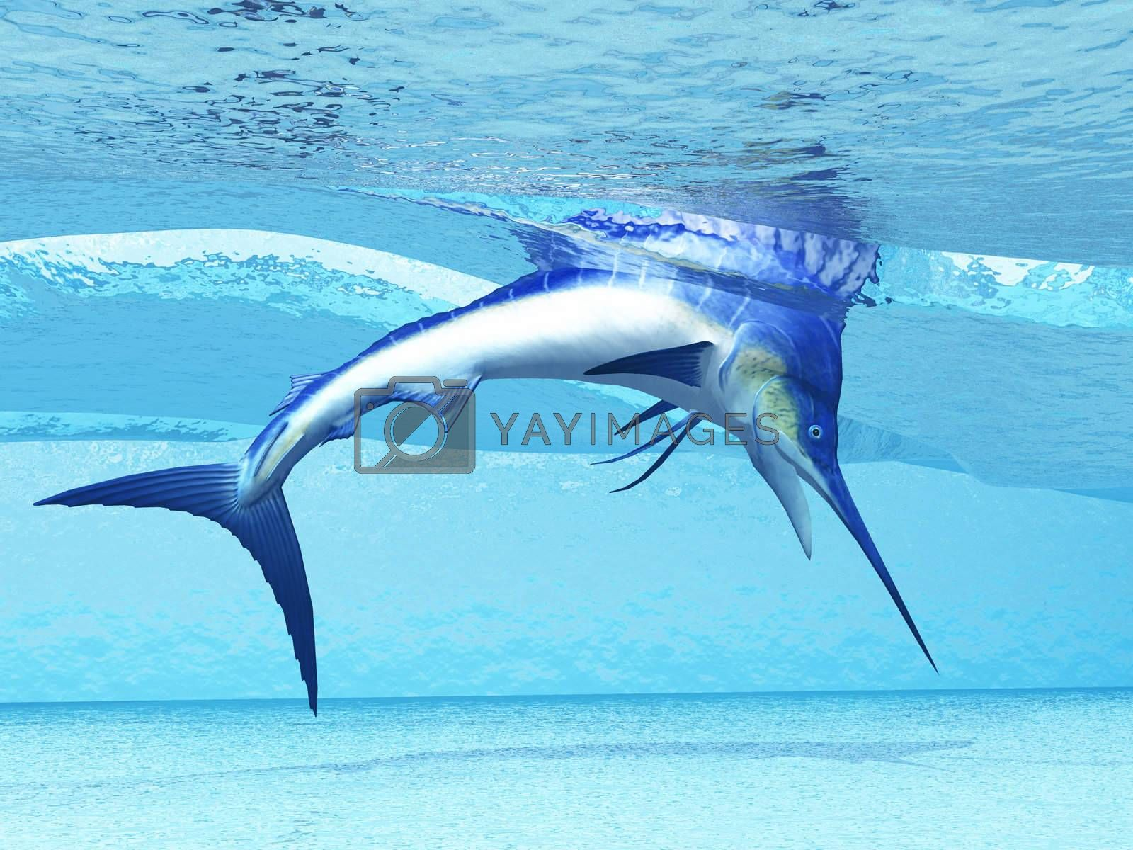 A Marlin dives in shallow waves looking for fish to eat.