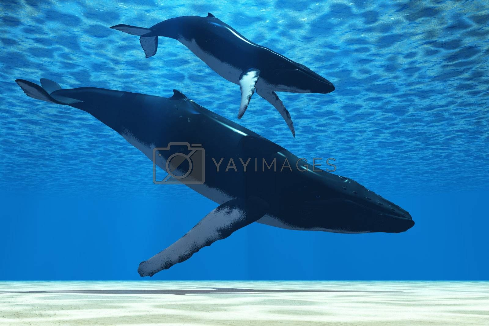 A Humpback mother whale escorts her calf in the shallows of the ocean.