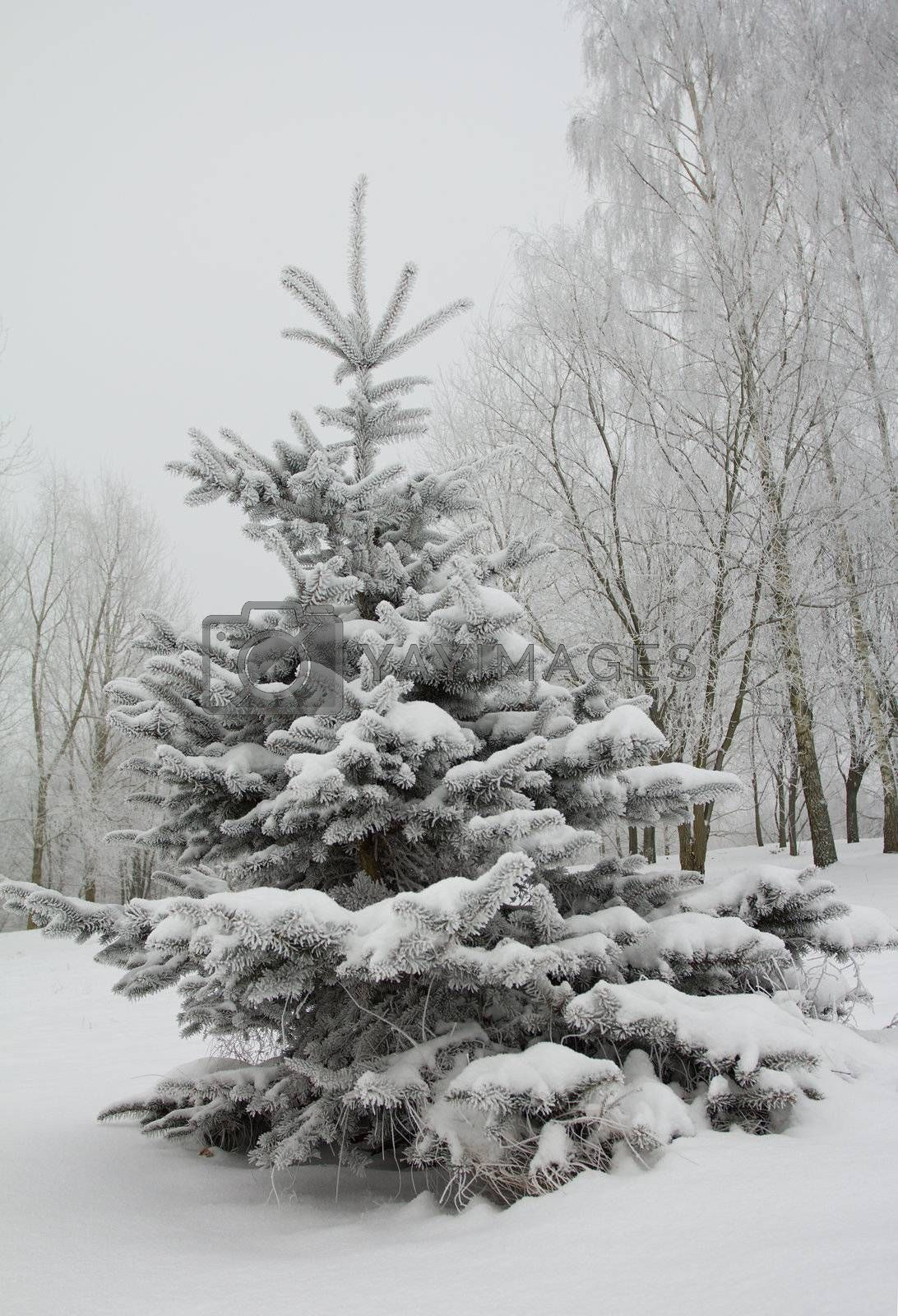 small fir tree covered with snow
