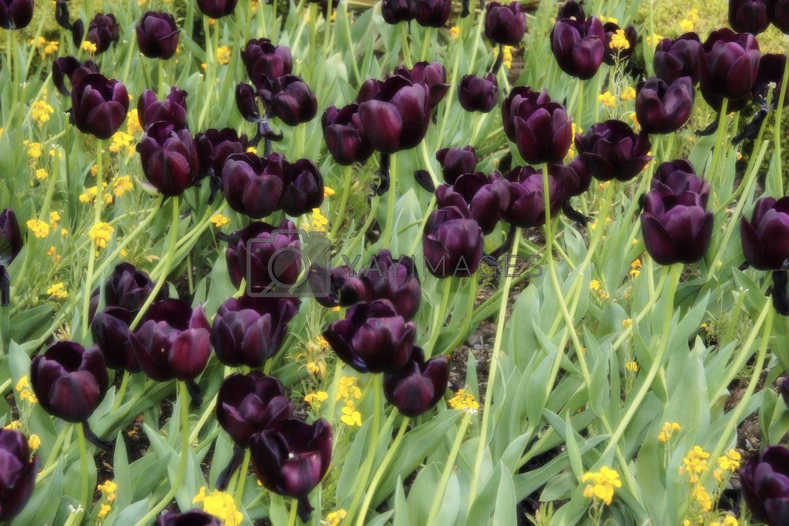a field of dark tulips