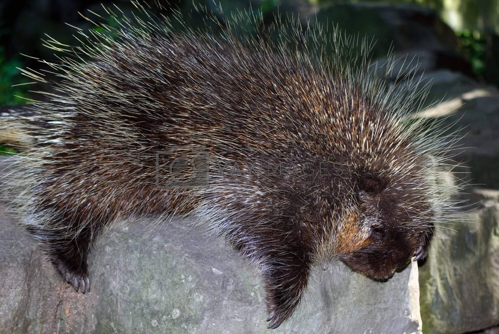 Royalty free image of Porcupine by nialat