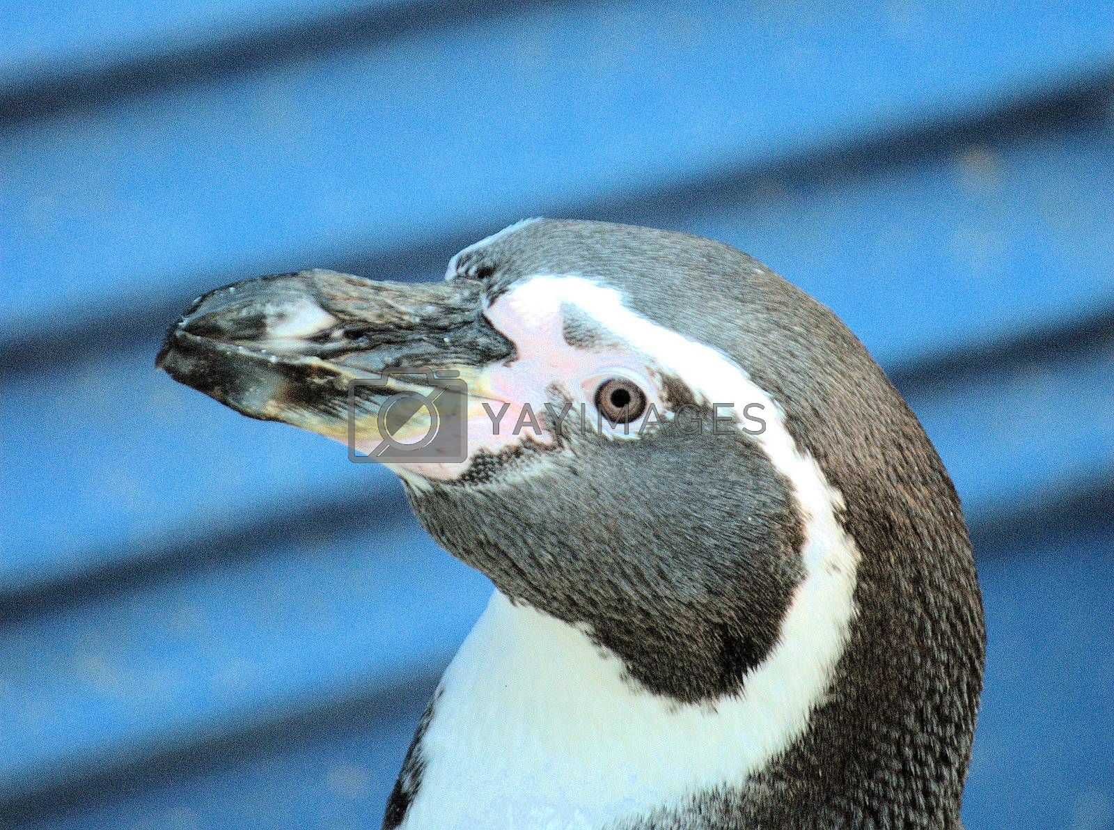 Head of Penguin on Blue Background