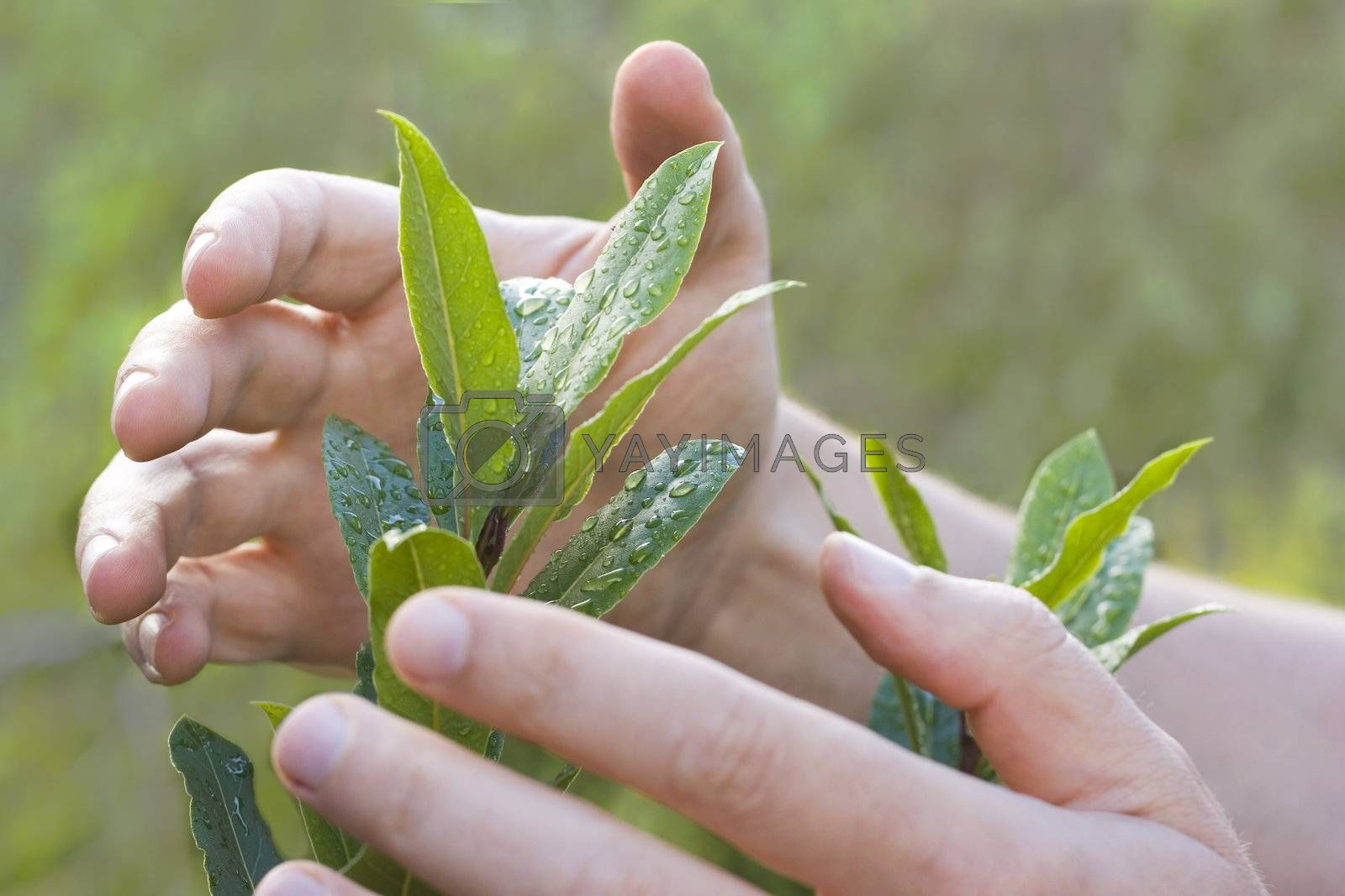 Male hands protecting a plant with drops of water