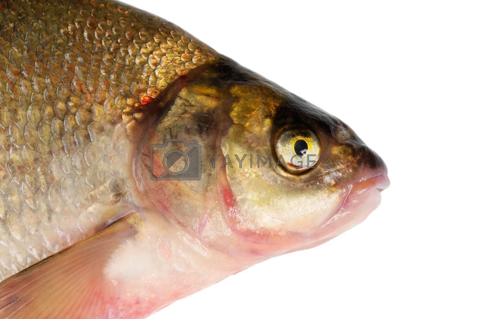 Fresh freshwater fish Bream. Macro. Isolated on white.