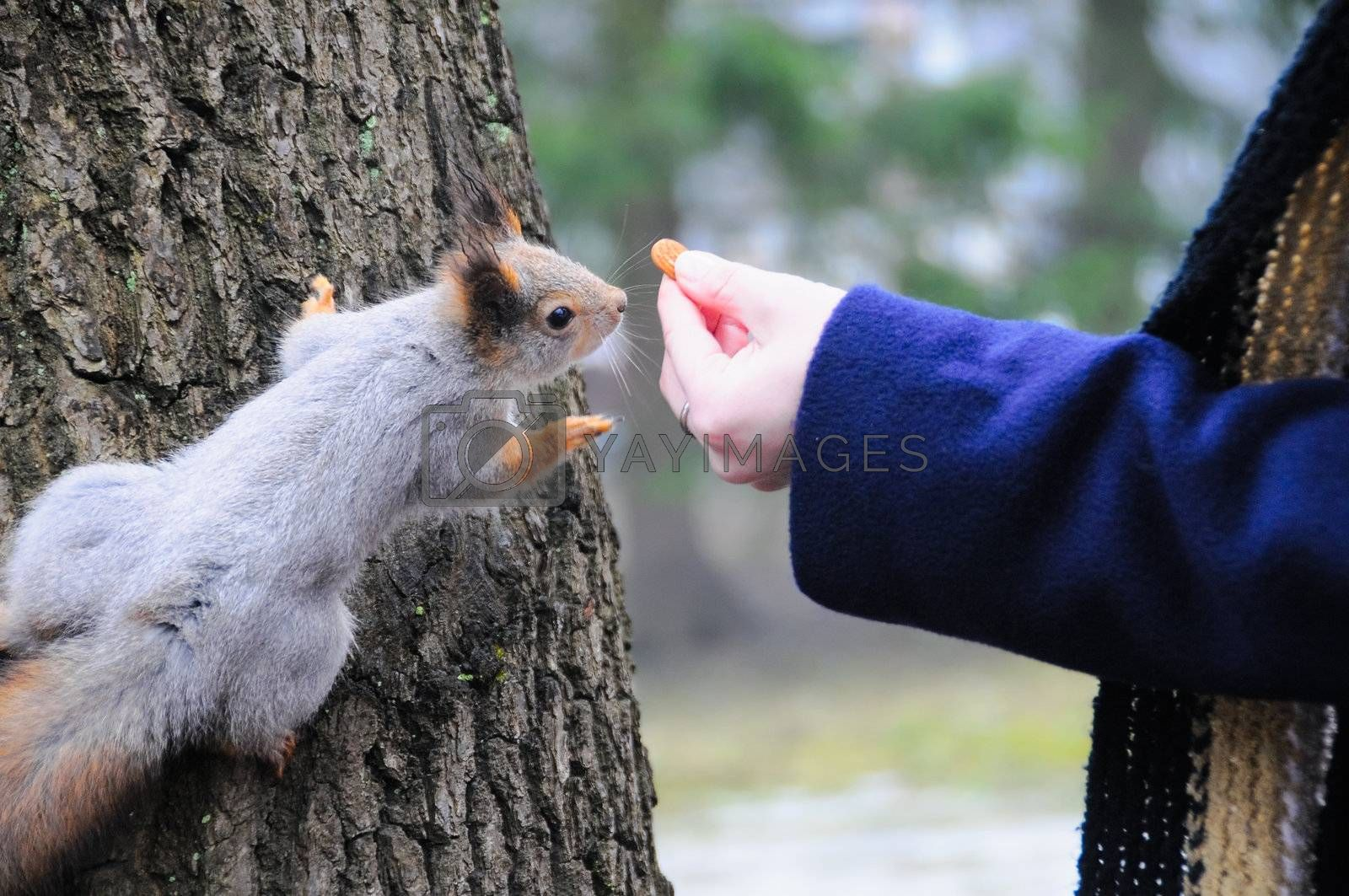 A grey squirrel being hand fed in a park