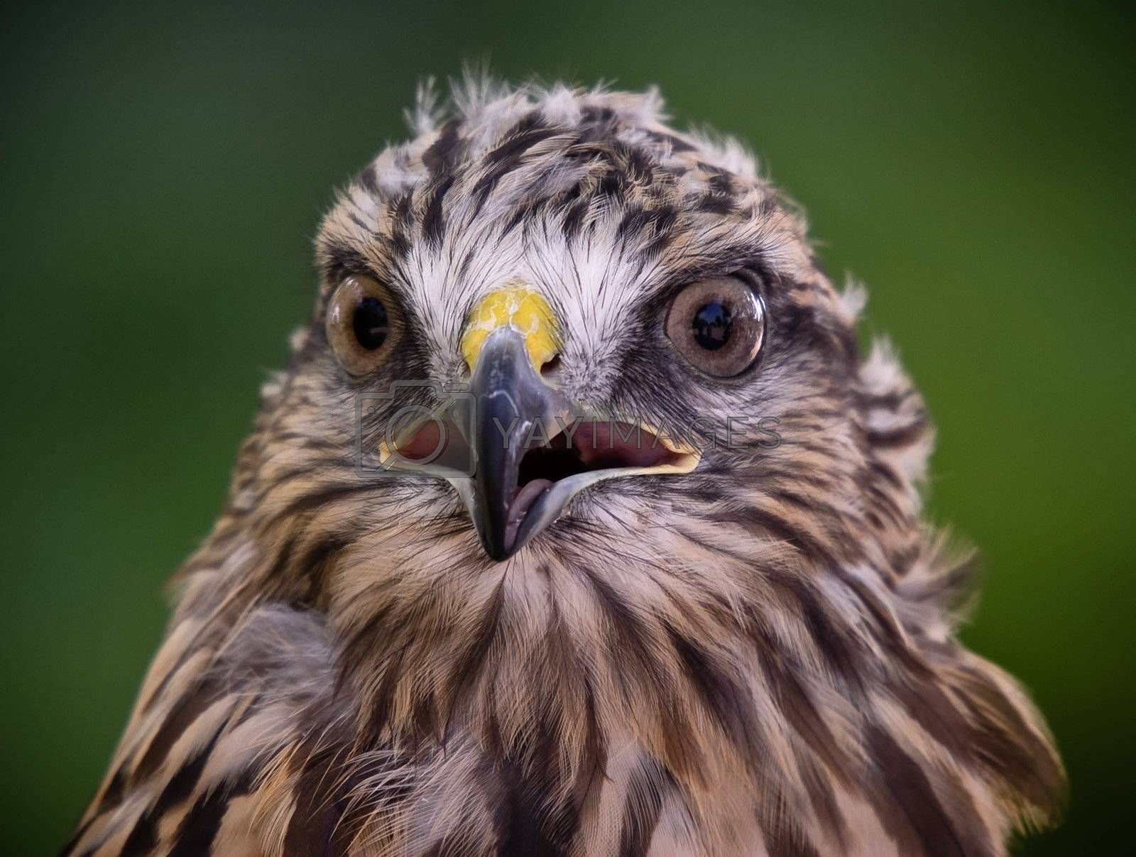 Royalty free image of Red tailed hawk by nialat