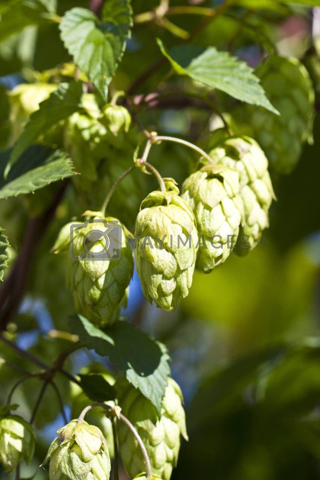 hand hops on the green bush in the garden