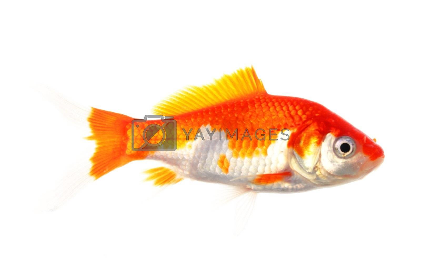 single goldfish animal isolated on white background