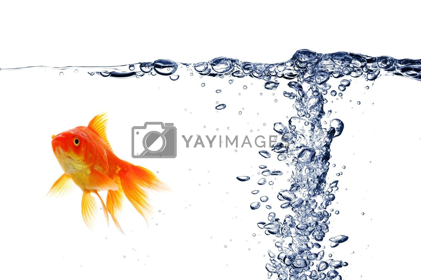 goldfish under water with bubbles and copyspace on white